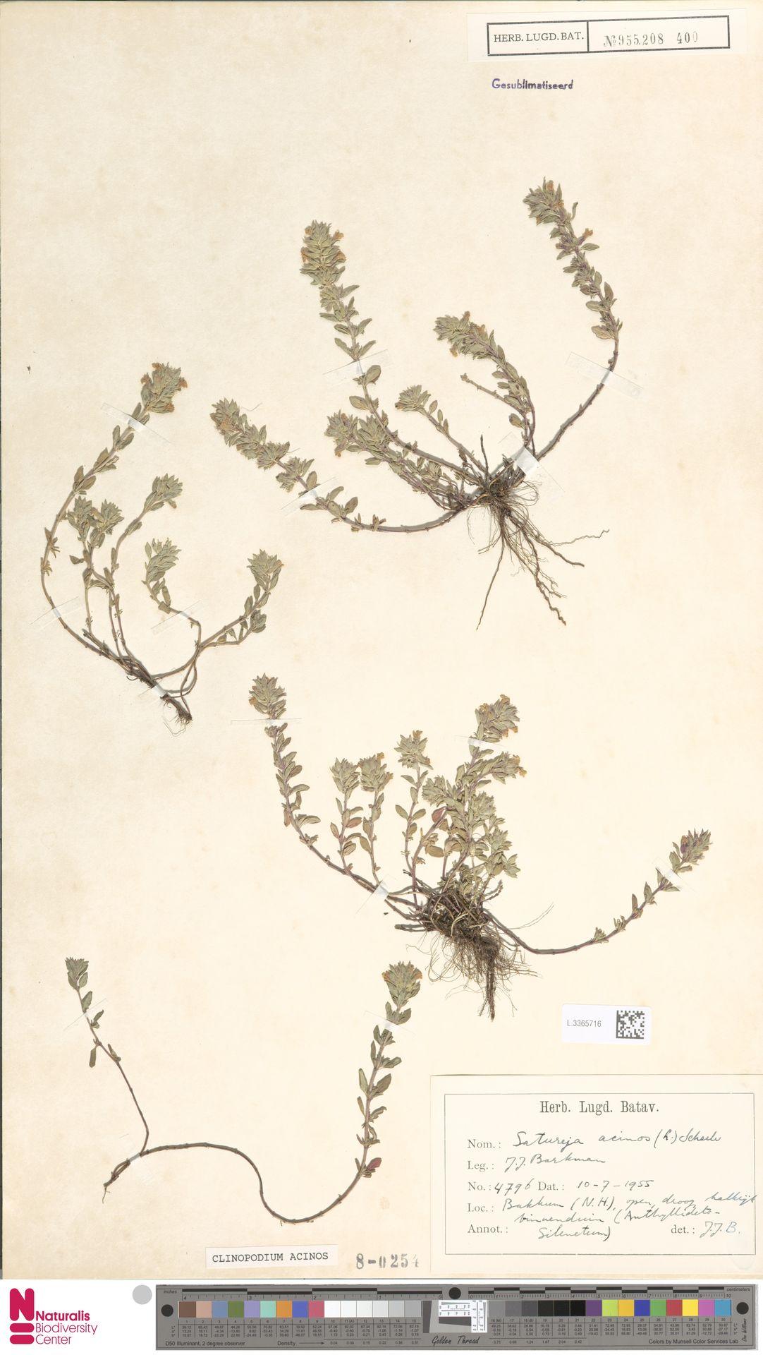 L.3365716   Clinopodium acinos (L.) Kuntze