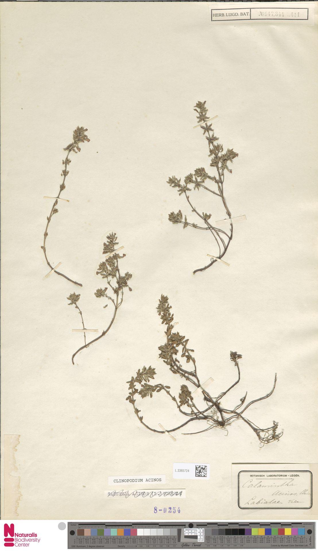 L.3365724 | Clinopodium acinos (L.) Kuntze