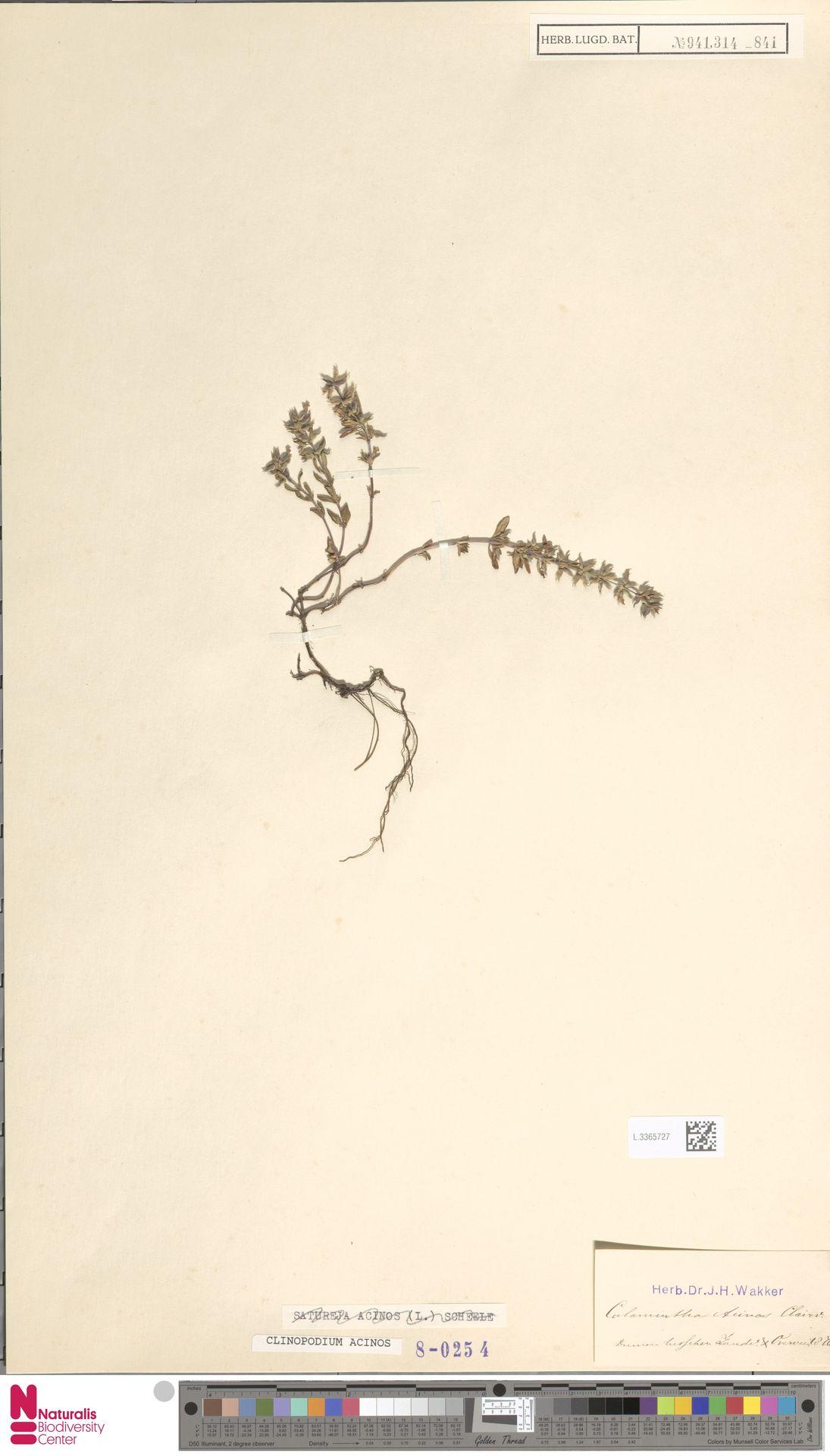 L.3365727 | Clinopodium acinos (L.) Kuntze