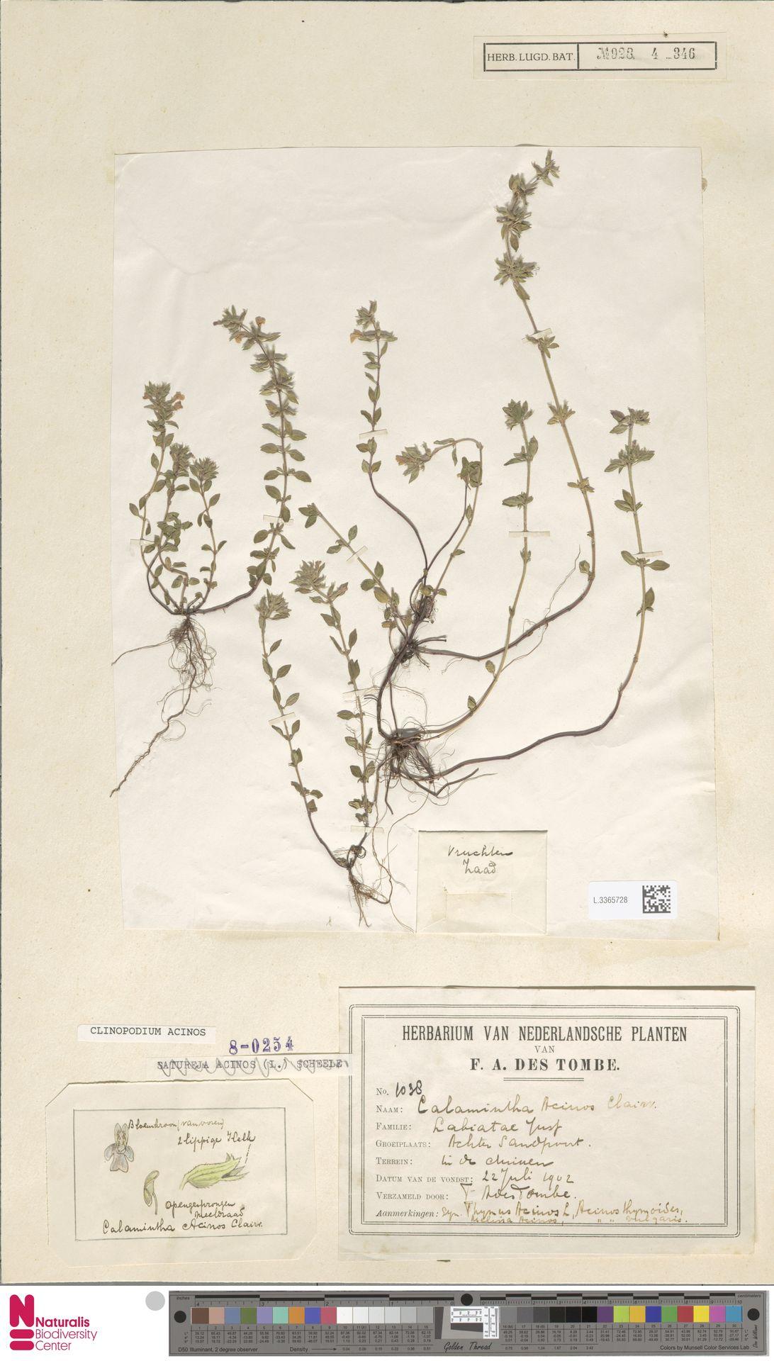 L.3365728 | Clinopodium acinos (L.) Kuntze