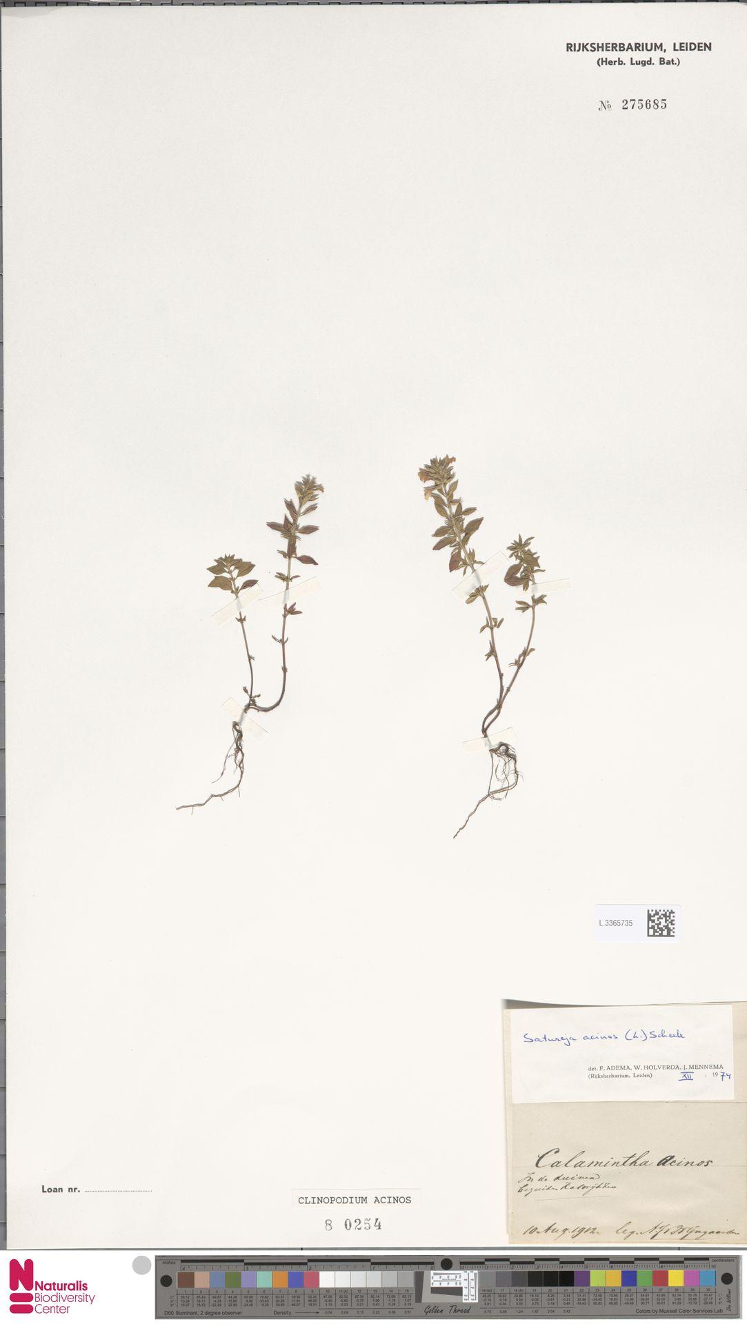 L.3365735 | Clinopodium acinos (L.) Kuntze