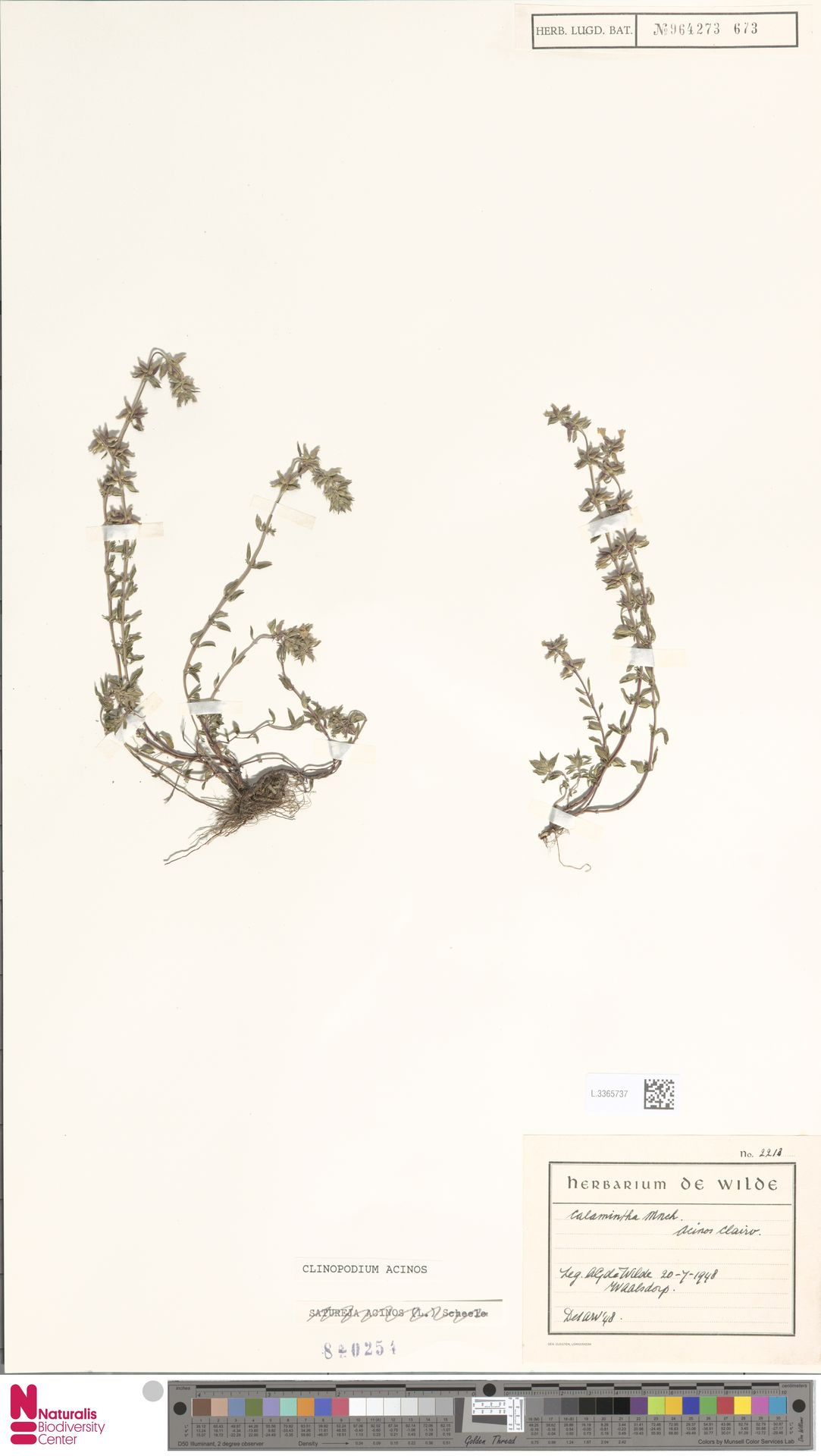L.3365737 | Clinopodium acinos (L.) Kuntze