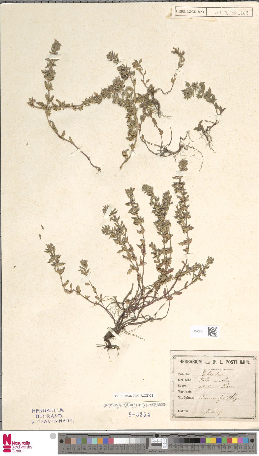 L.3365744 | Clinopodium acinos (L.) Kuntze