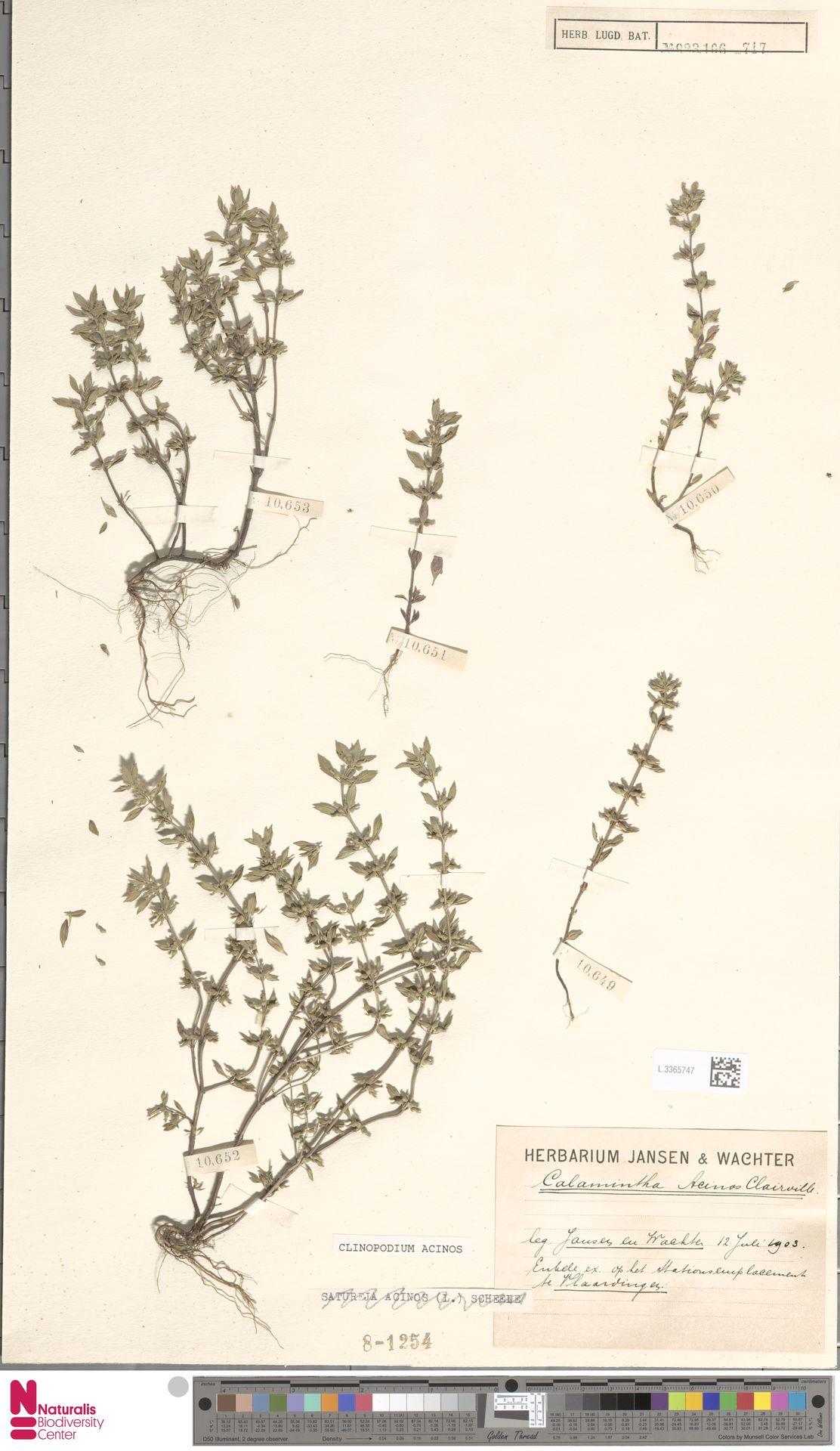 L.3365747 | Clinopodium acinos (L.) Kuntze