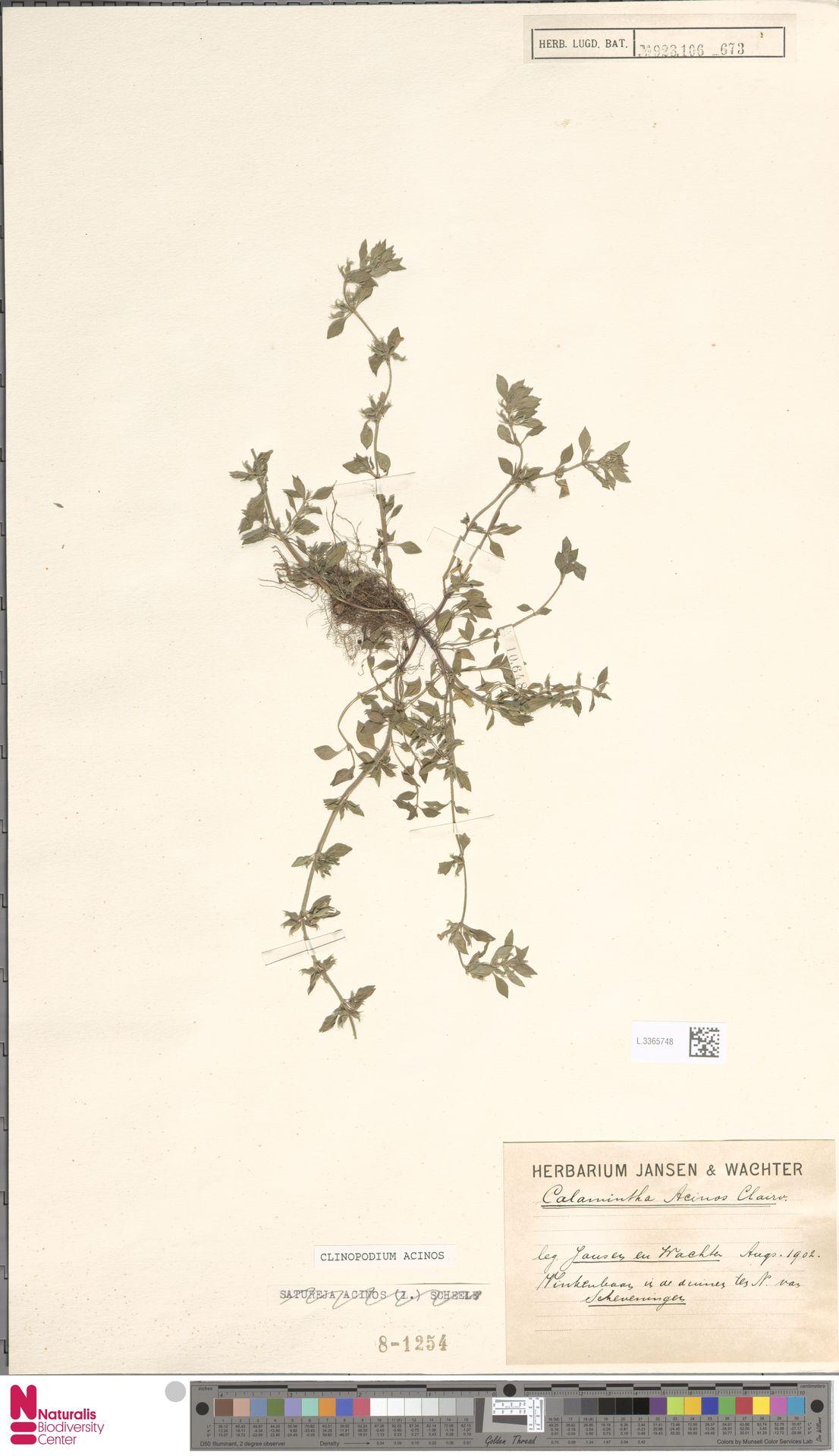 L.3365748 | Clinopodium acinos (L.) Kuntze