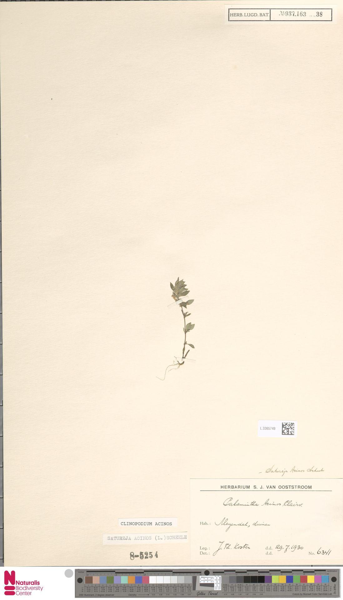 L.3365749 | Clinopodium acinos (L.) Kuntze