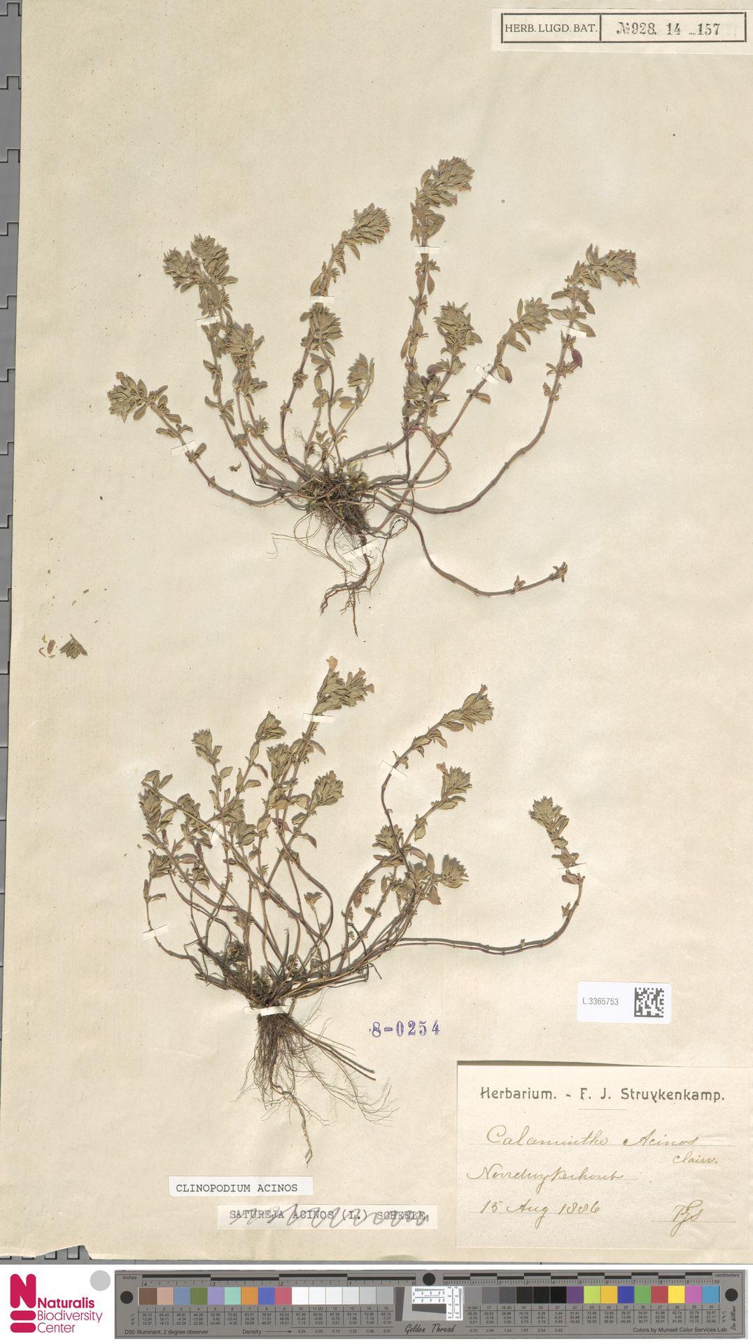 L.3365753   Clinopodium acinos (L.) Kuntze