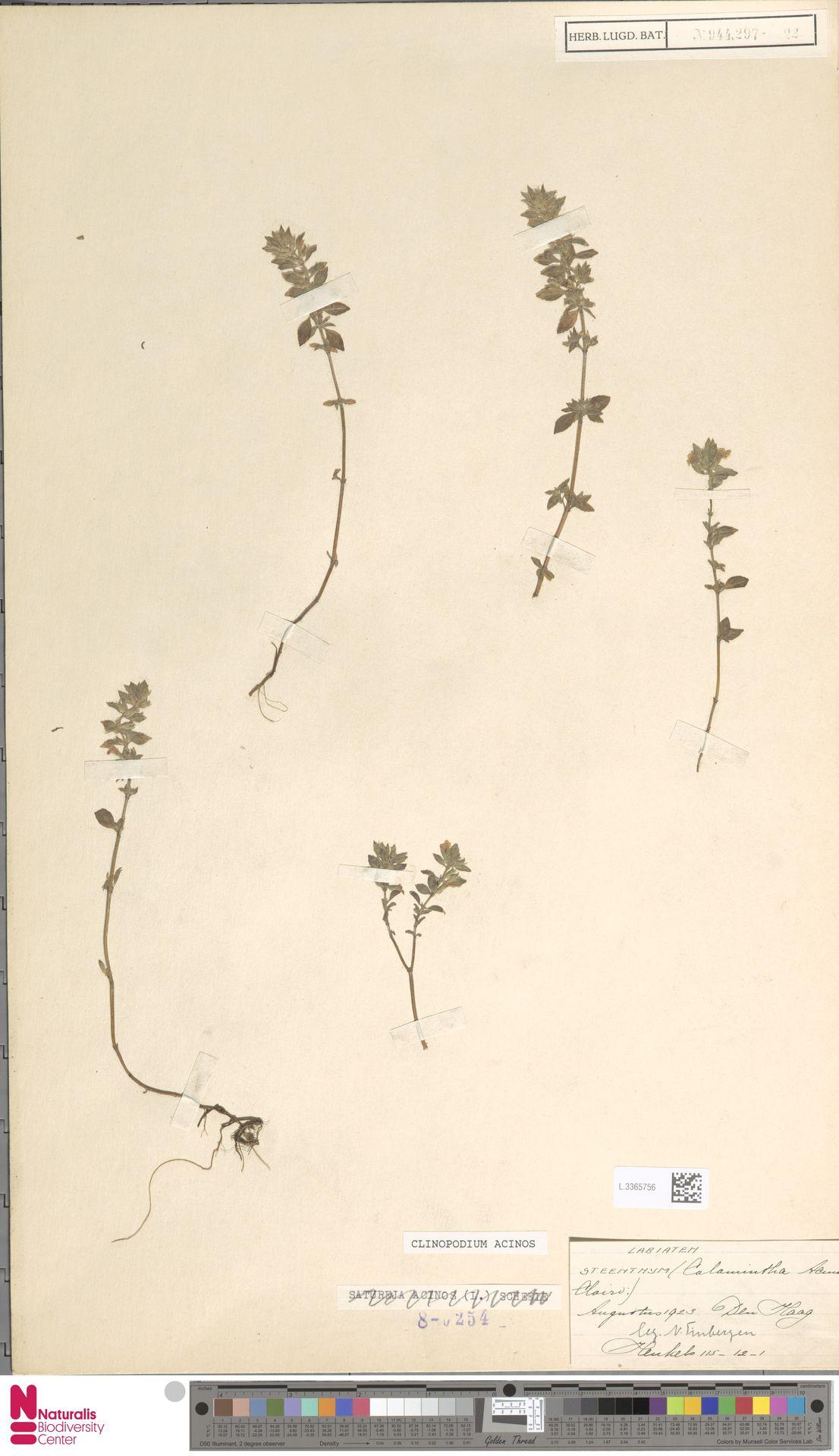 L.3365756   Clinopodium acinos (L.) Kuntze