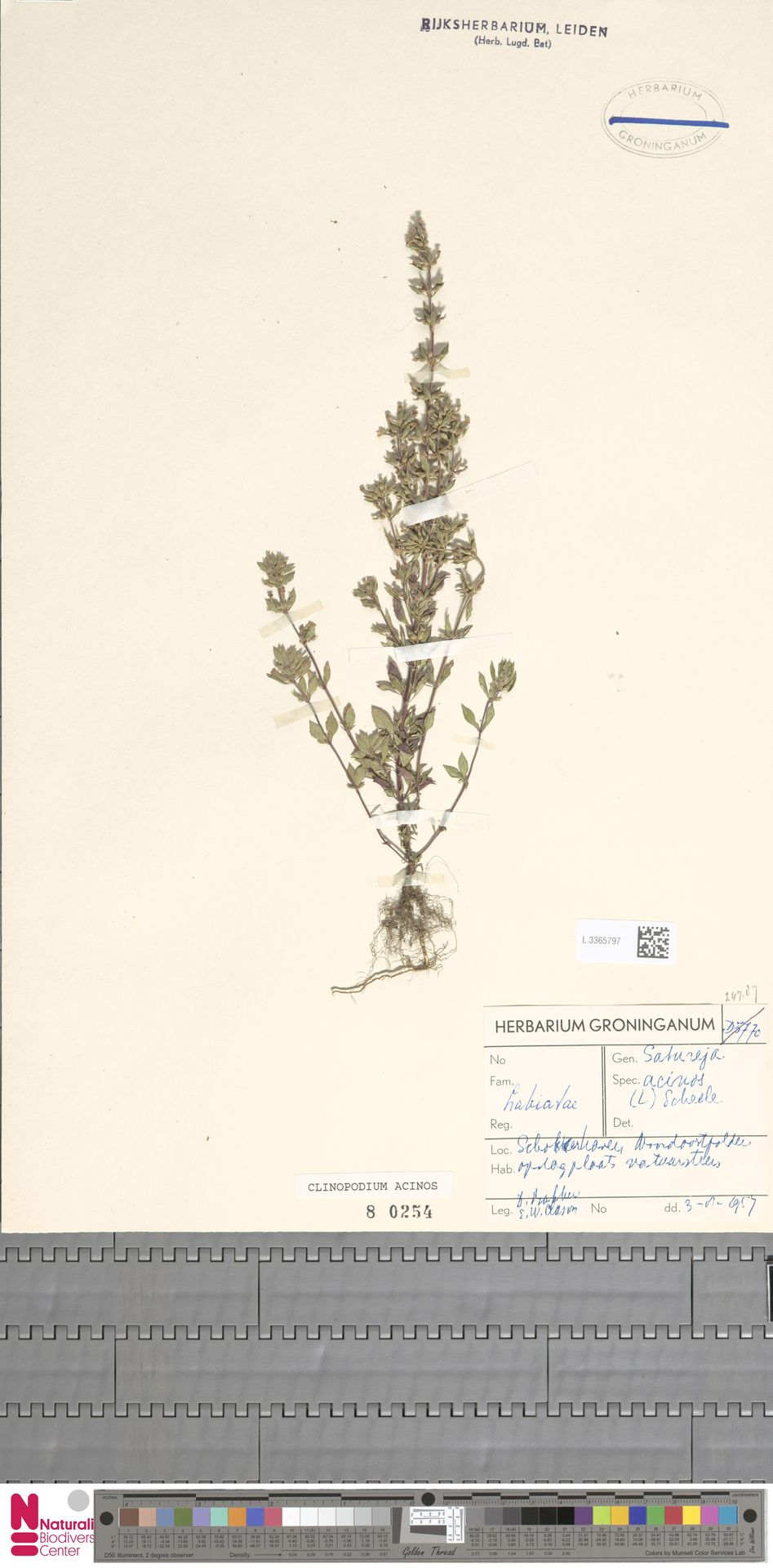 L.3365797 | Clinopodium acinos (L.) Kuntze