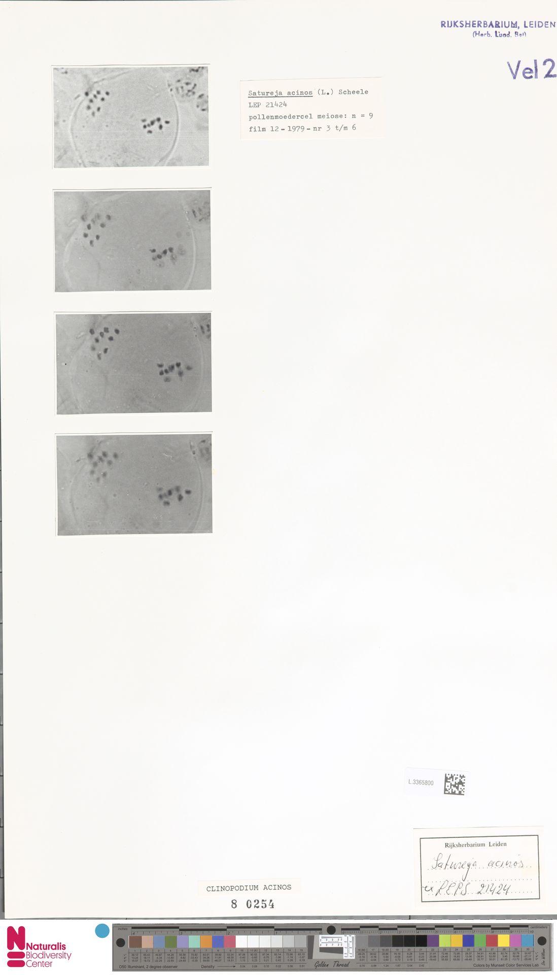 L.3365800 | Clinopodium acinos (L.) Kuntze