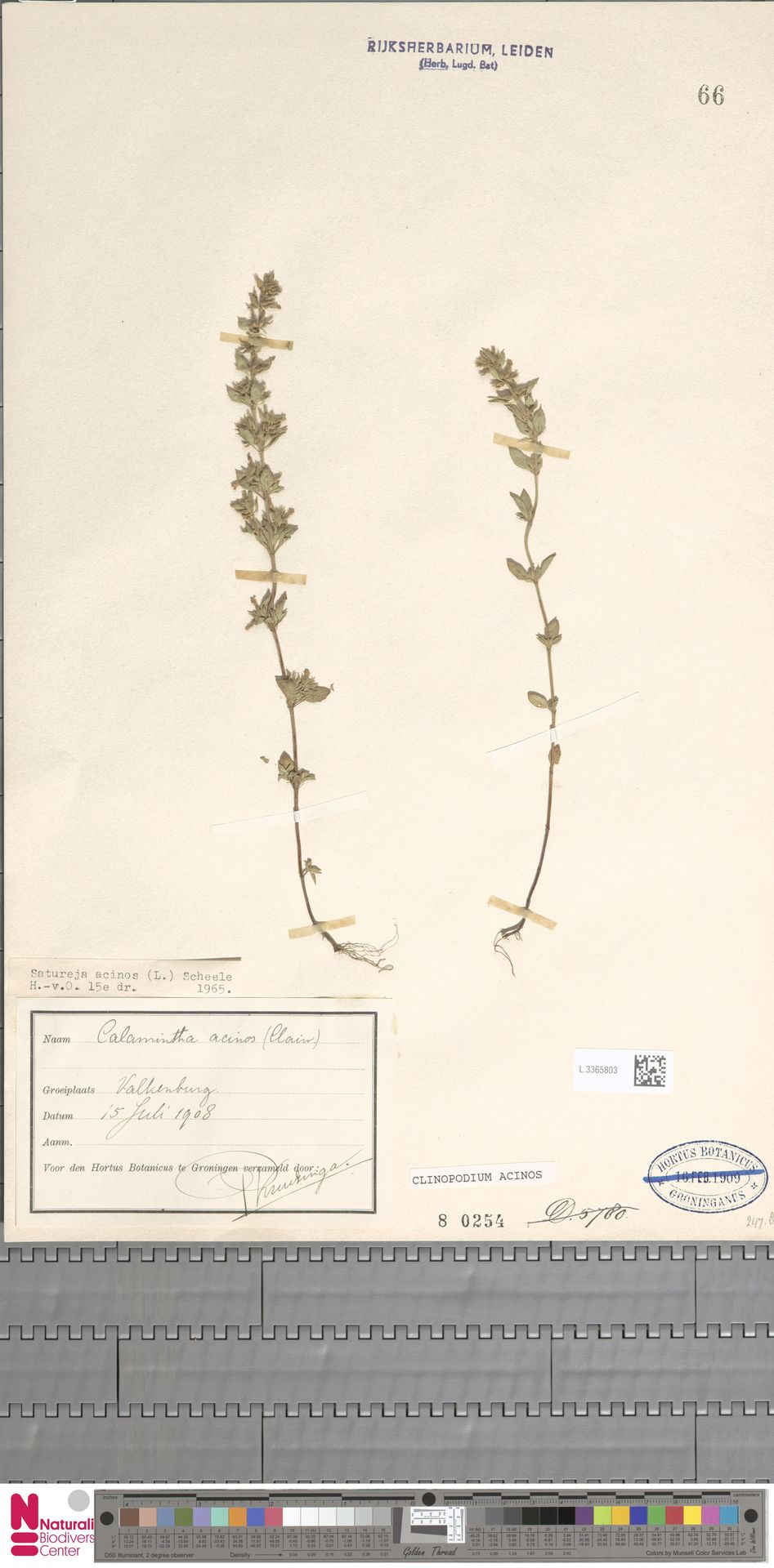 L.3365803 | Clinopodium acinos (L.) Kuntze