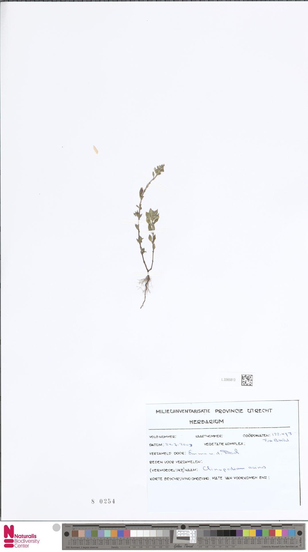 L.3365813 | Clinopodium acinos (L.) Kuntze