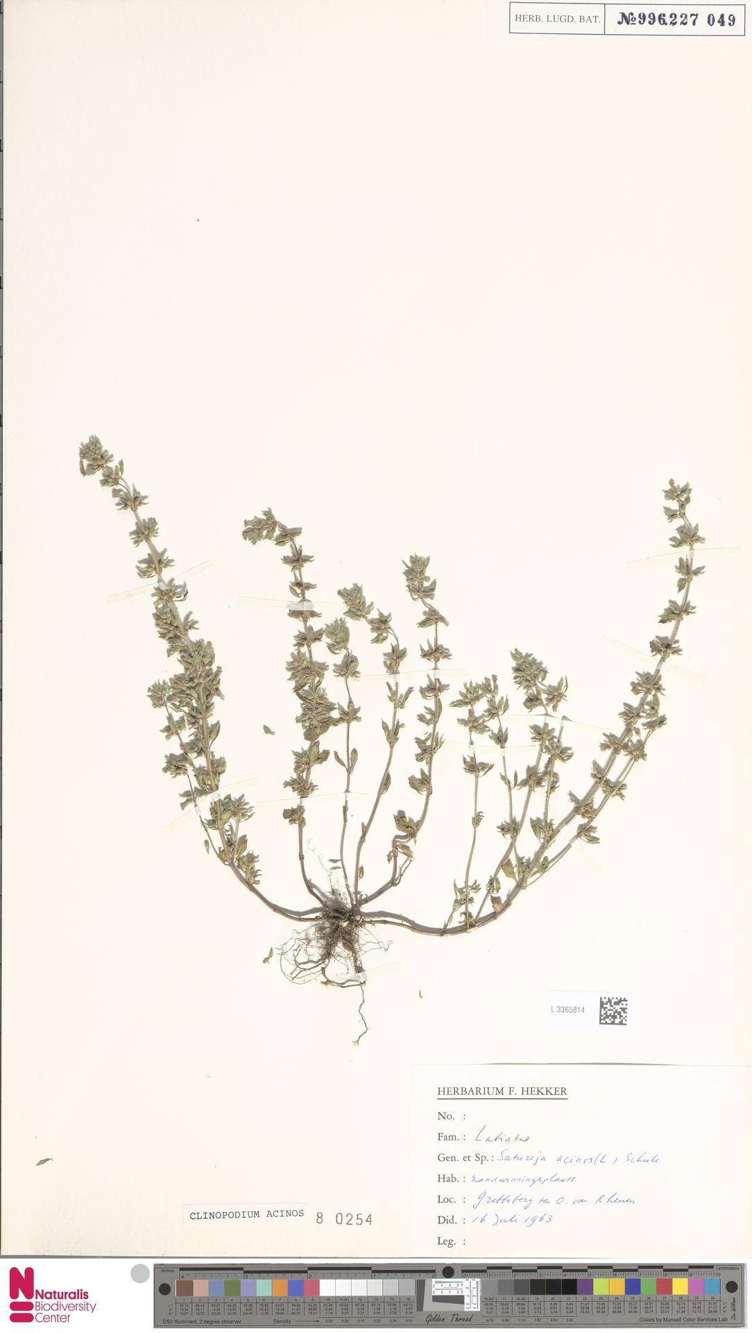 L.3365814 | Clinopodium acinos (L.) Kuntze