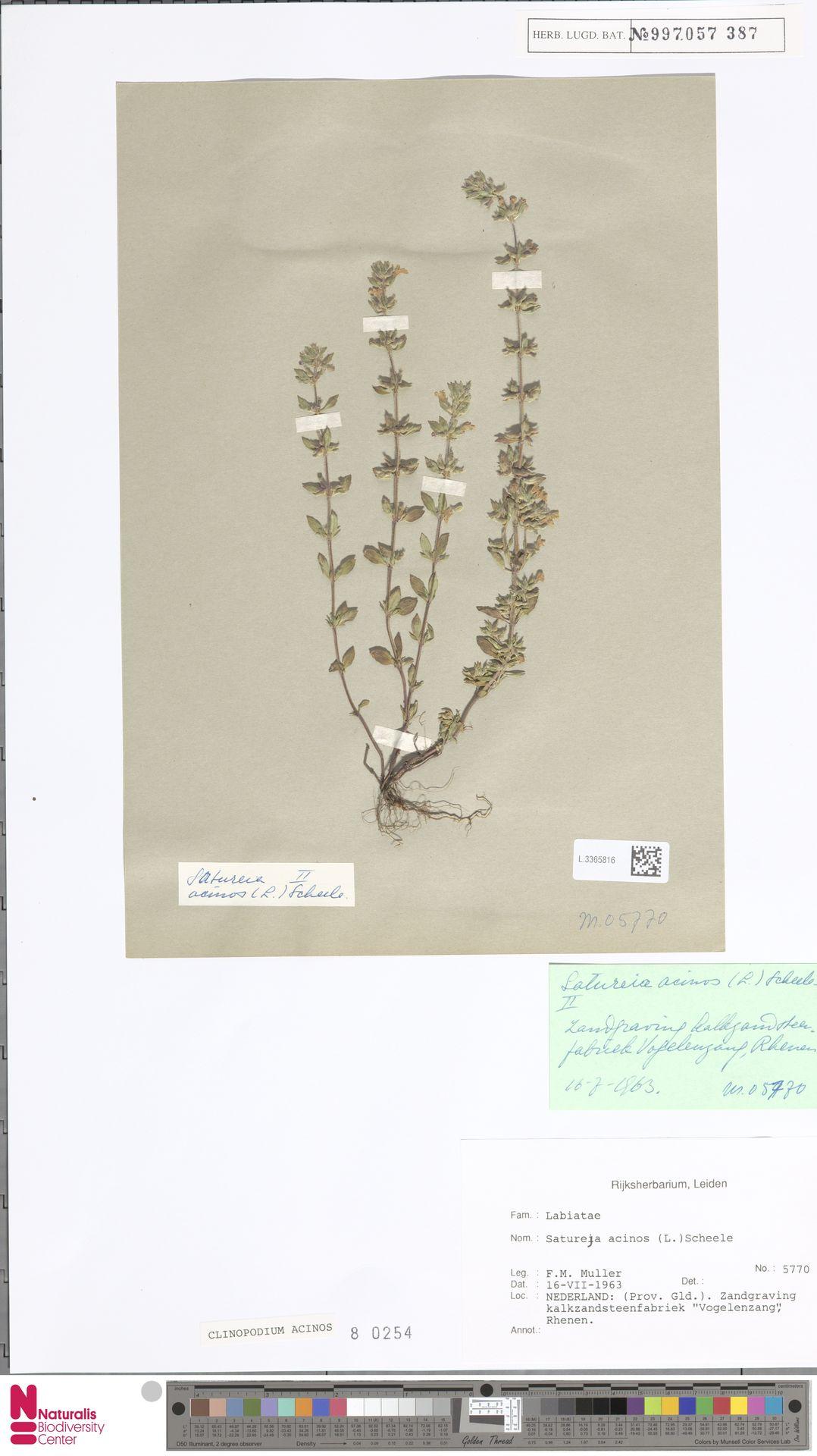 L.3365816 | Clinopodium acinos (L.) Kuntze