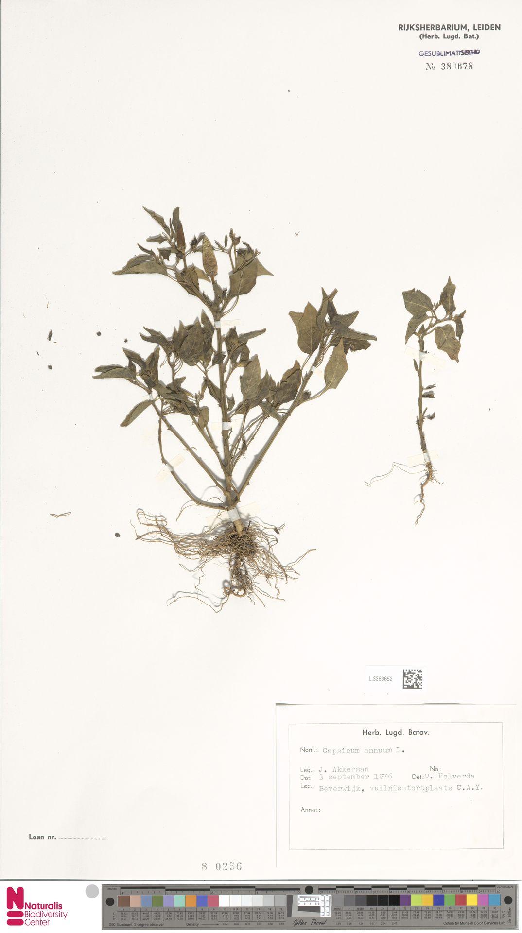 L.3369652 | Capsicum annuum L.