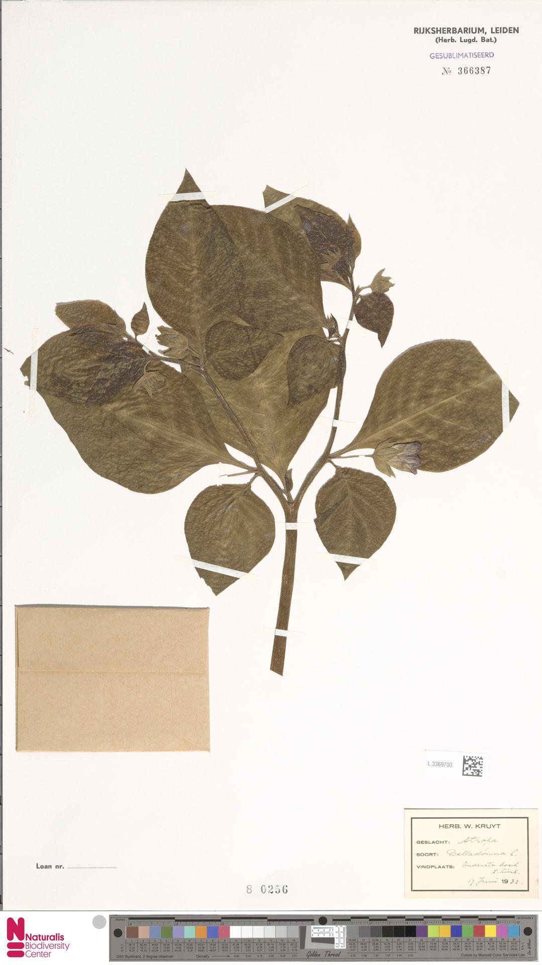 L.3369700 | Atropa belladonna L.