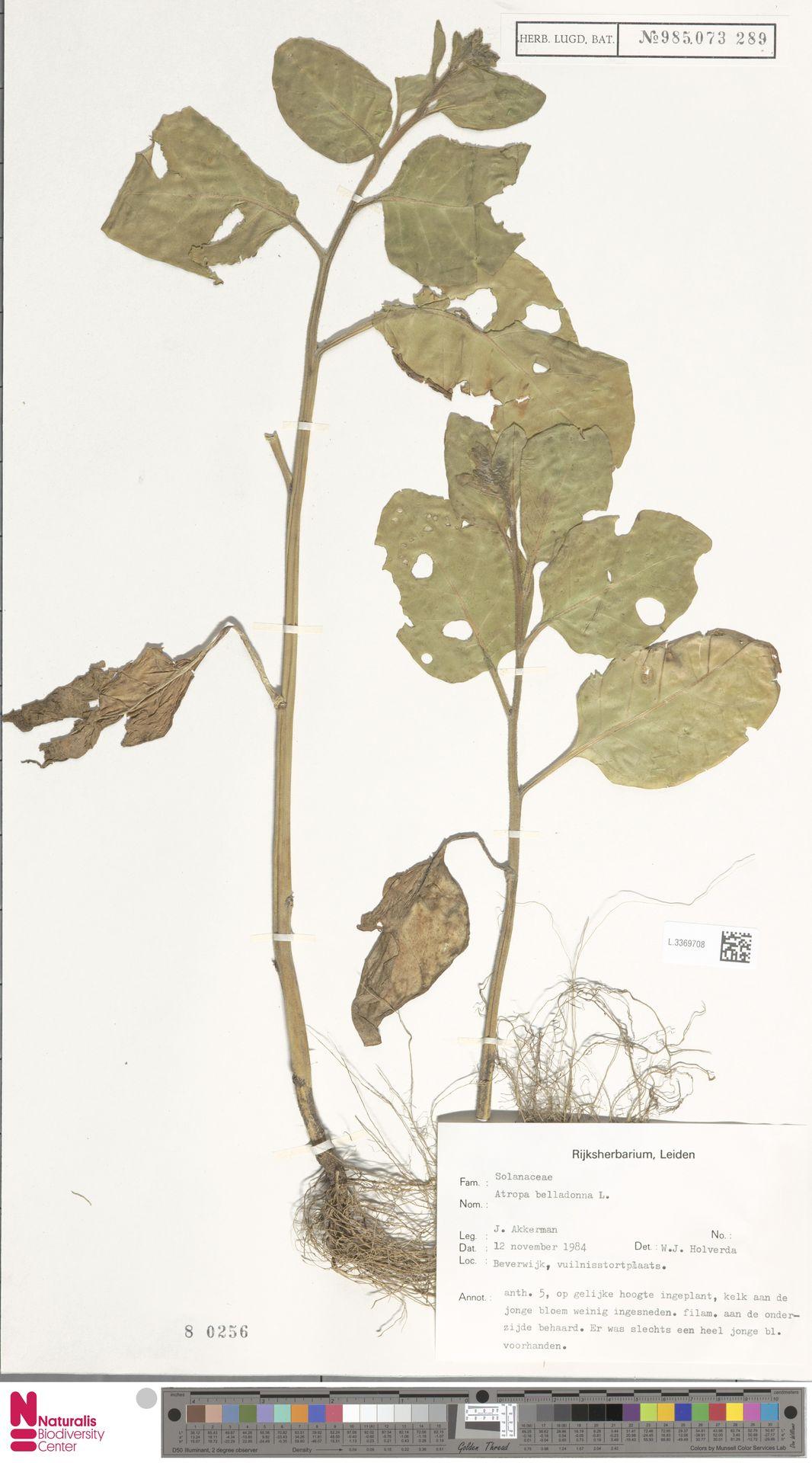 L.3369708   Atropa belladonna L.