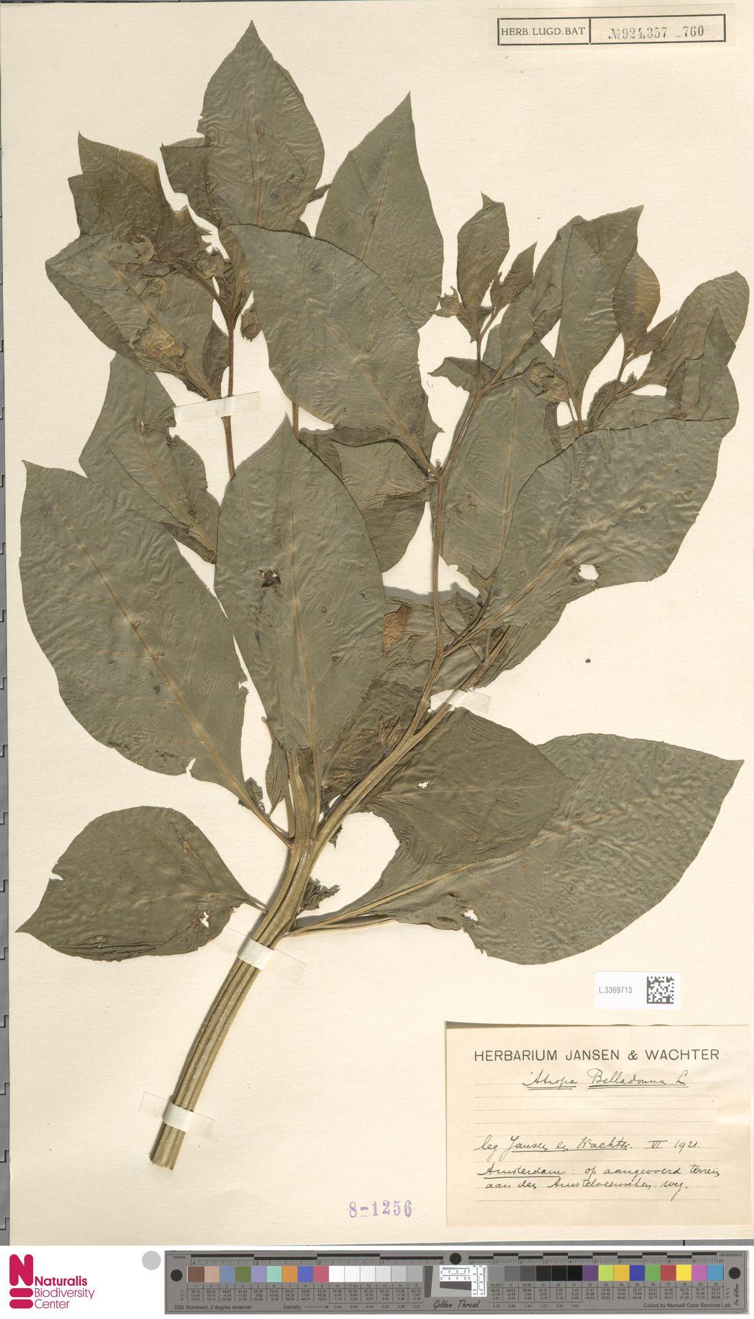 L.3369713 | Atropa belladonna L.