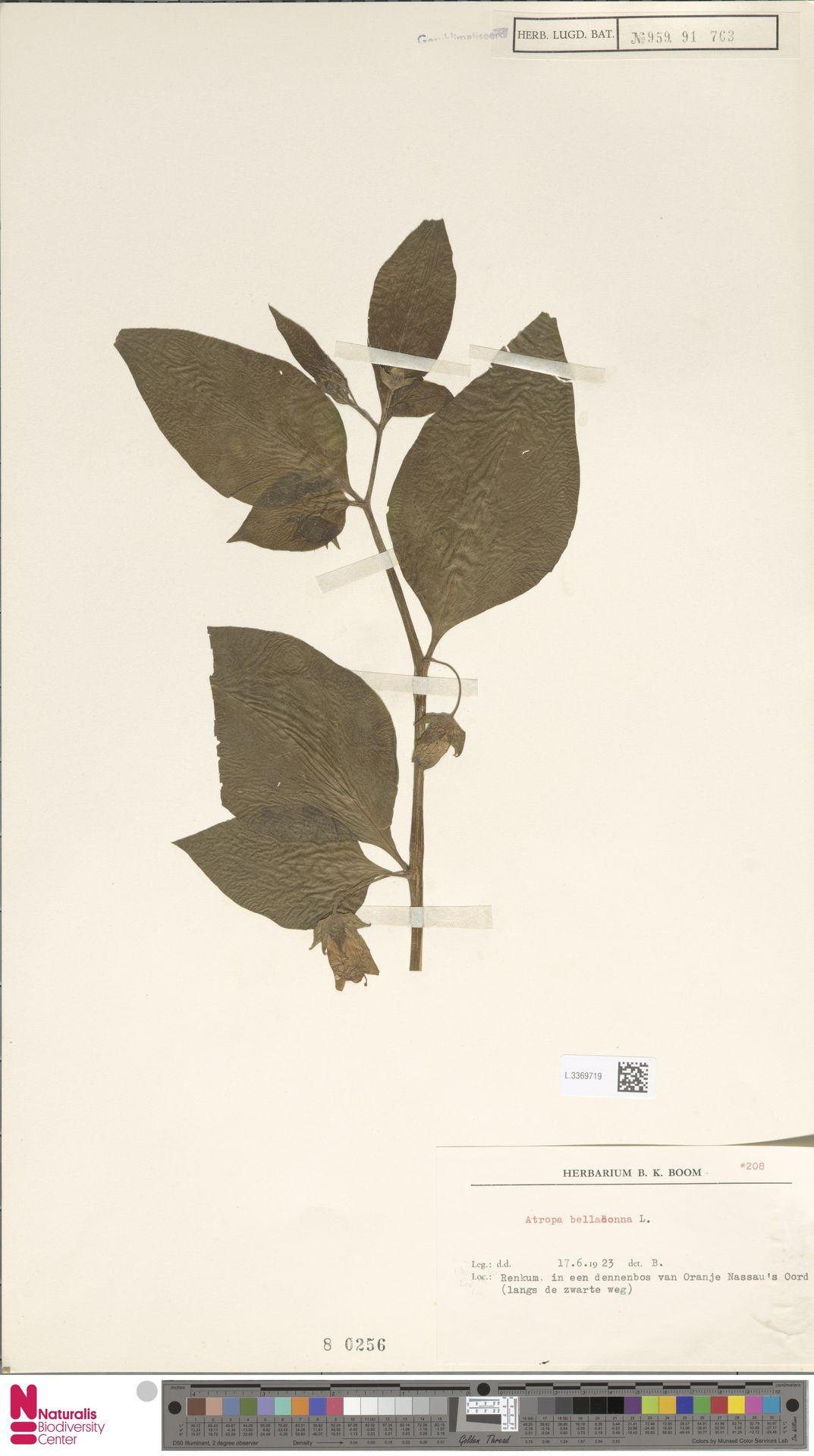 L.3369719 | Atropa belladonna L.