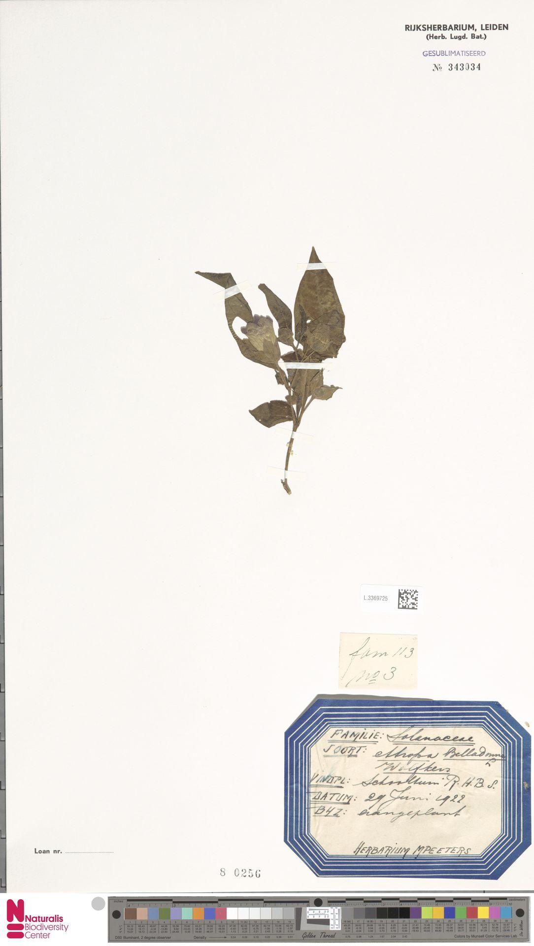 L.3369725   Atropa belladonna L.