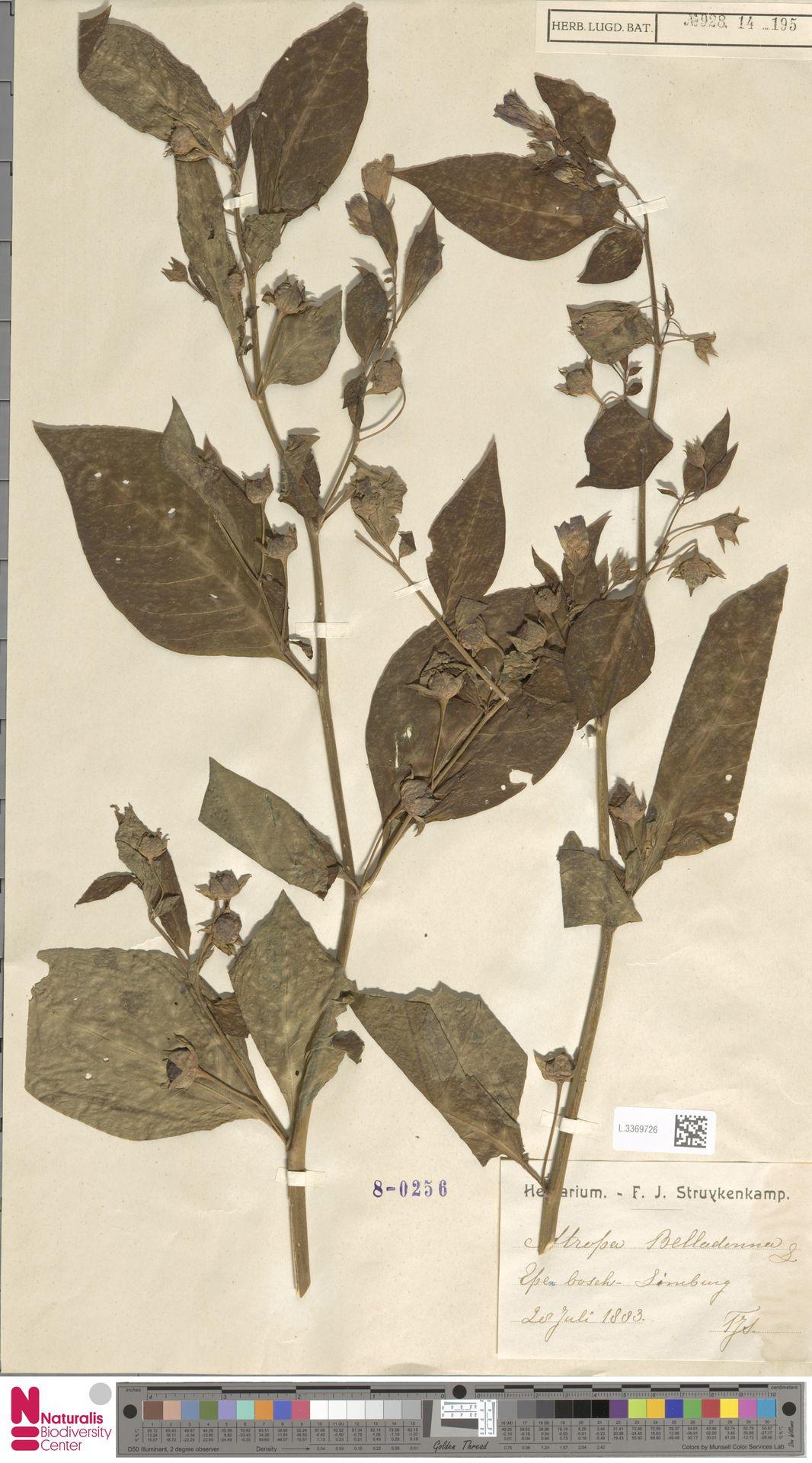 L.3369726 | Atropa belladonna L.