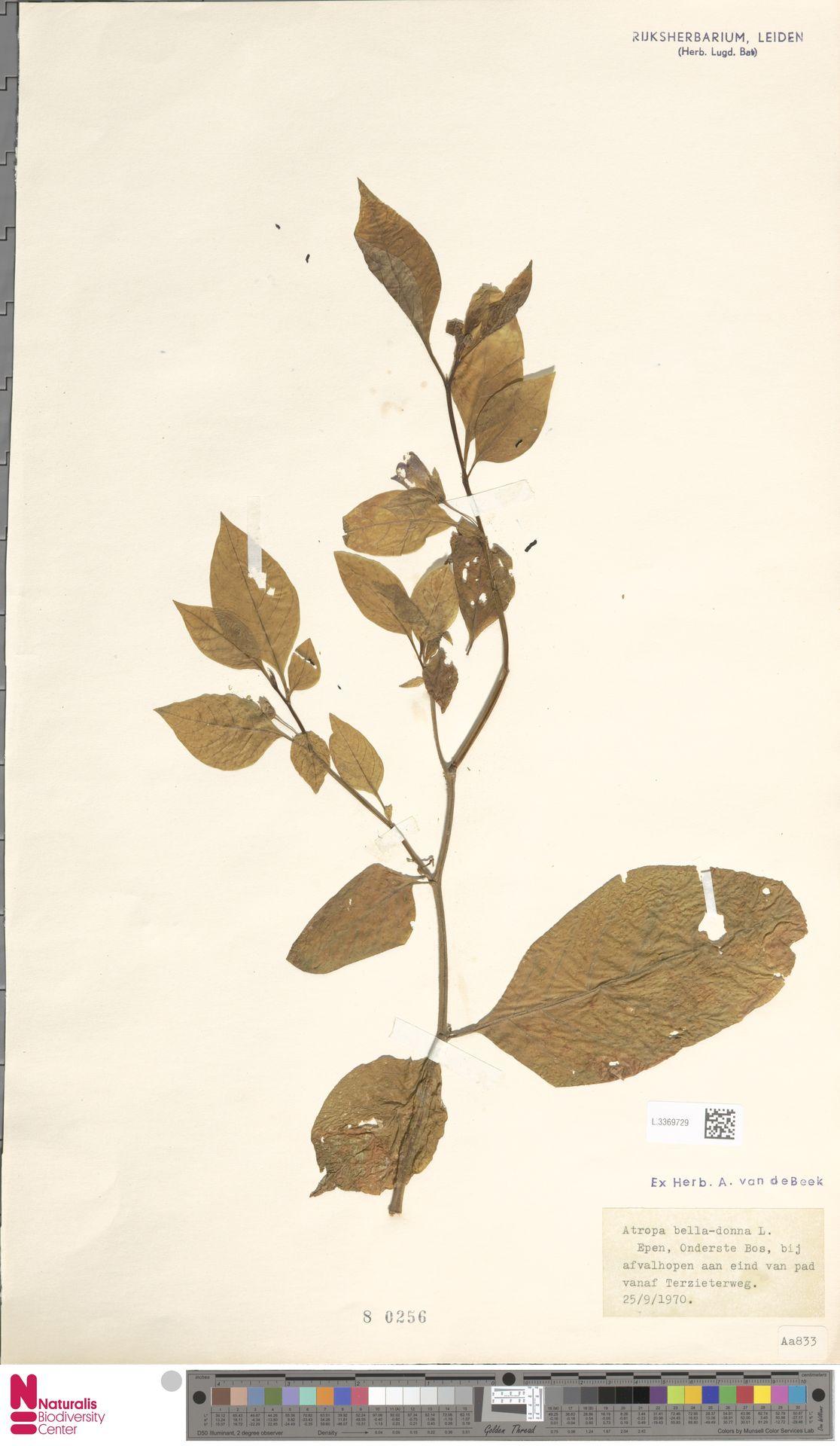 L.3369729 | Atropa belladonna L.