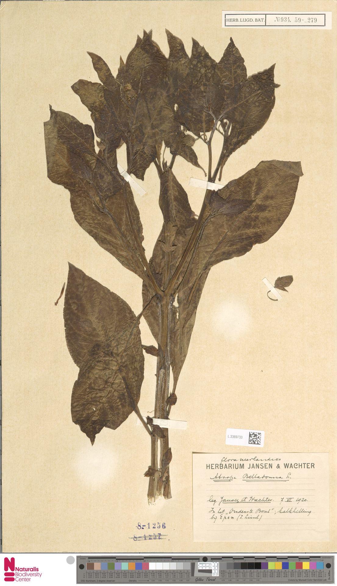 L.3369733 | Atropa belladonna L.