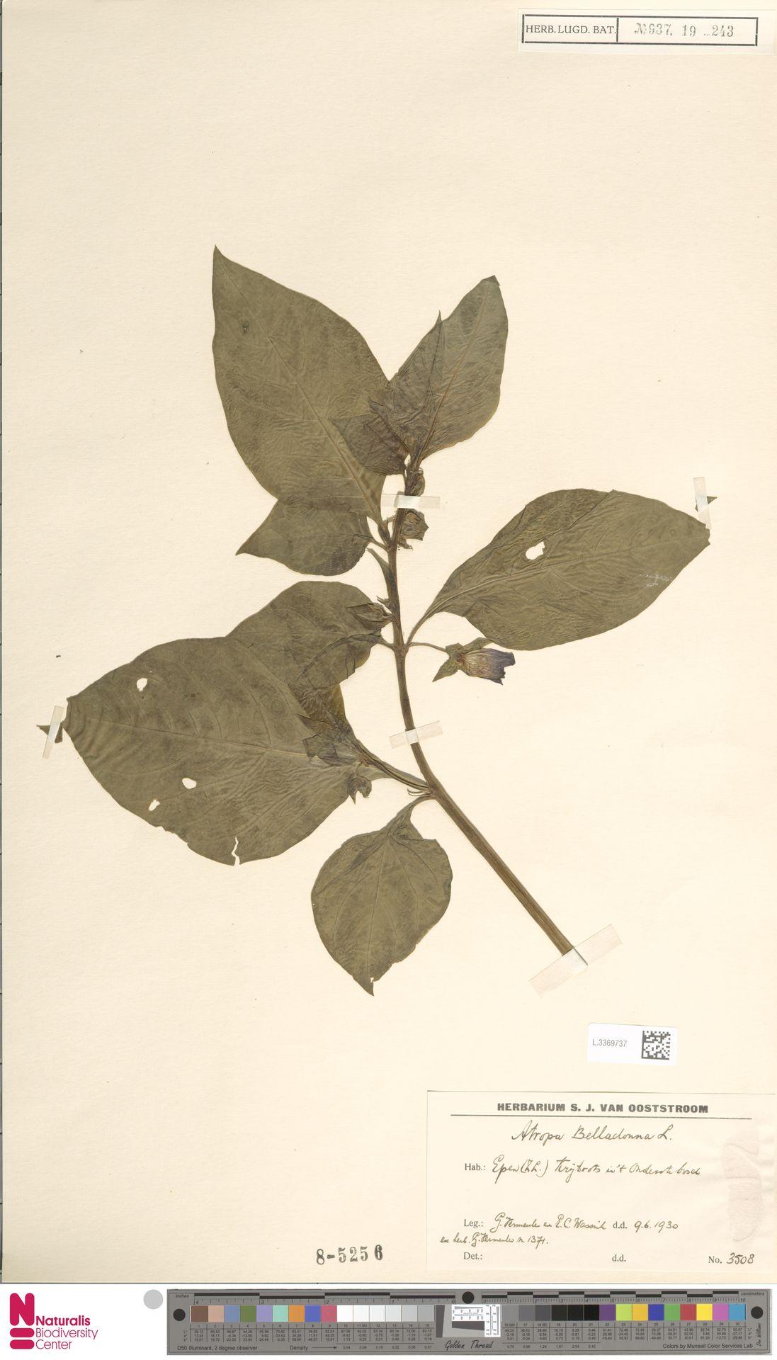L.3369737 | Atropa belladonna L.