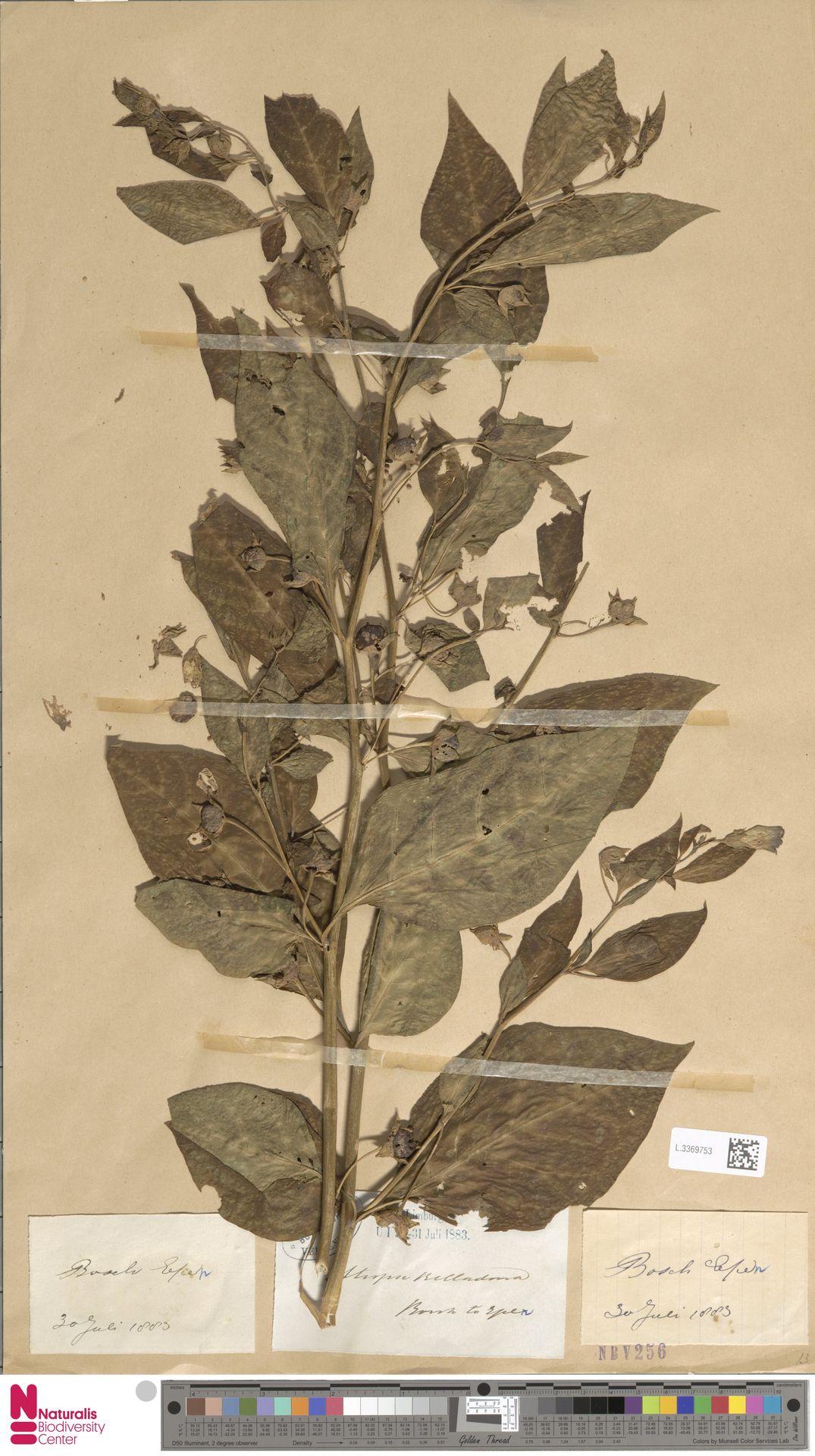 L.3369753 | Atropa belladonna L.