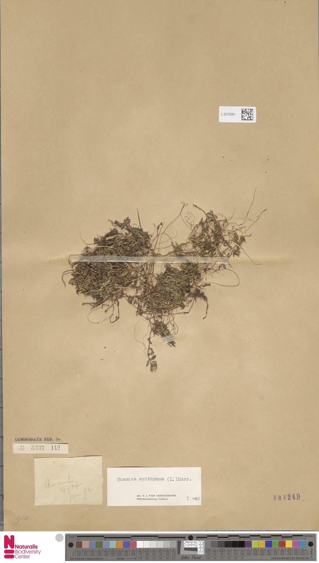 L.3370281 | Cuscuta epithymum (L.) L.