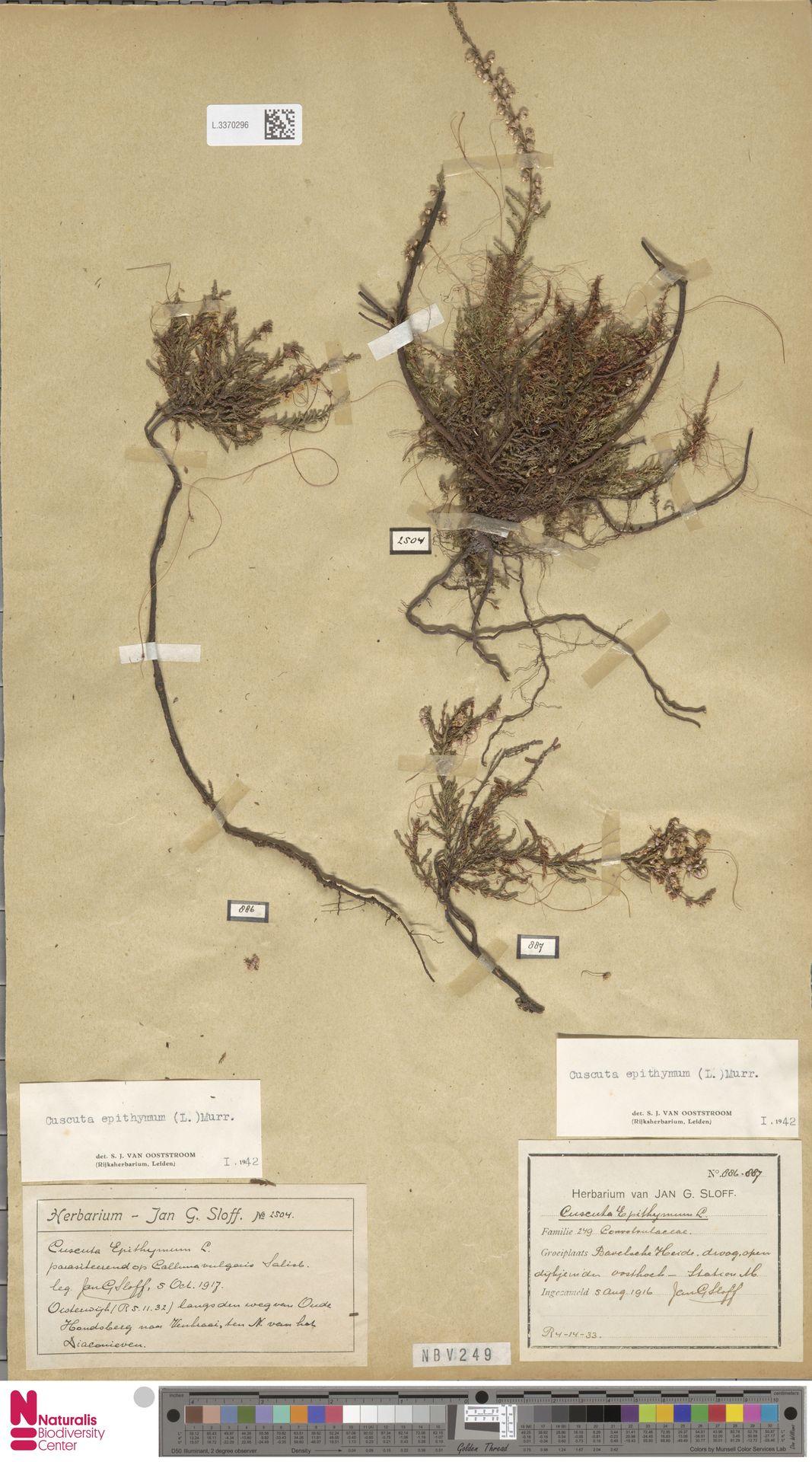 L.3370296 | Cuscuta epithymum (L.) L.