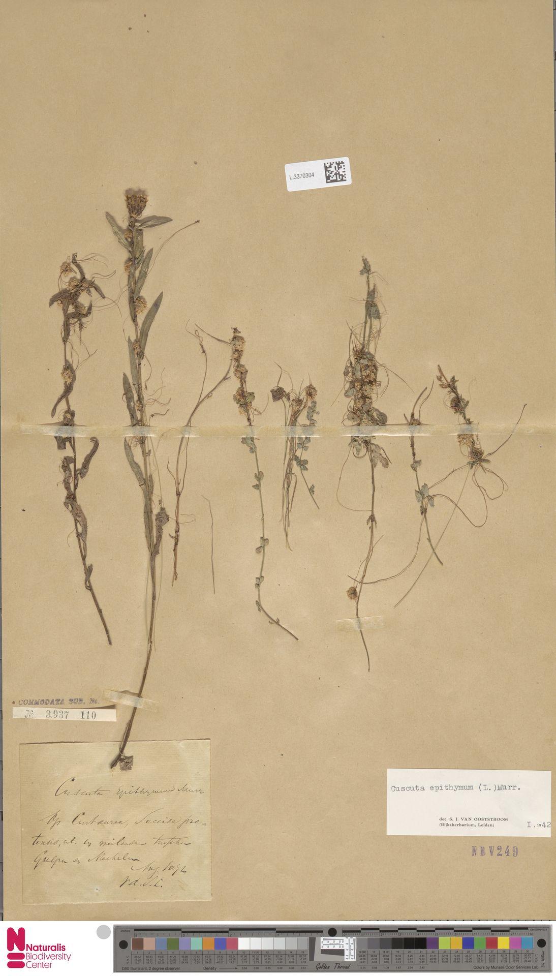 L.3370304 | Cuscuta epithymum (L.) L.