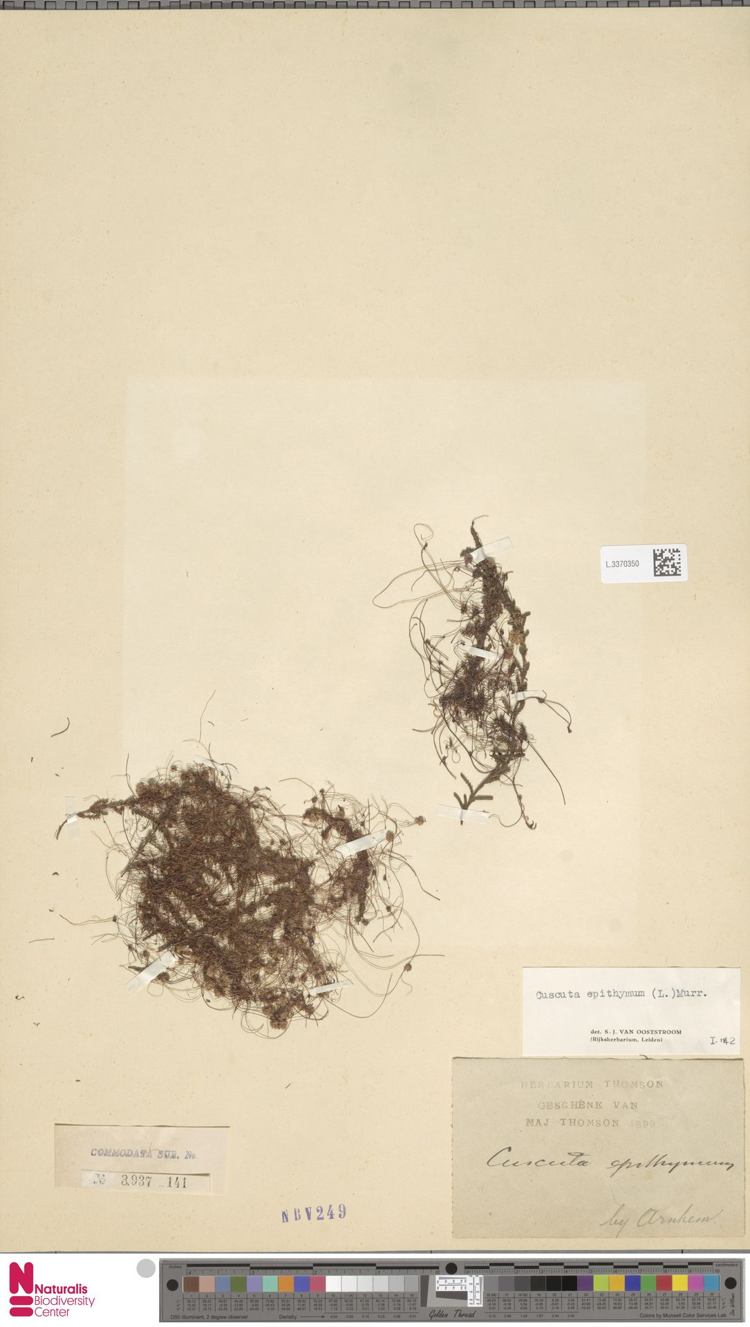 L.3370350 | Cuscuta epithymum (L.) L.