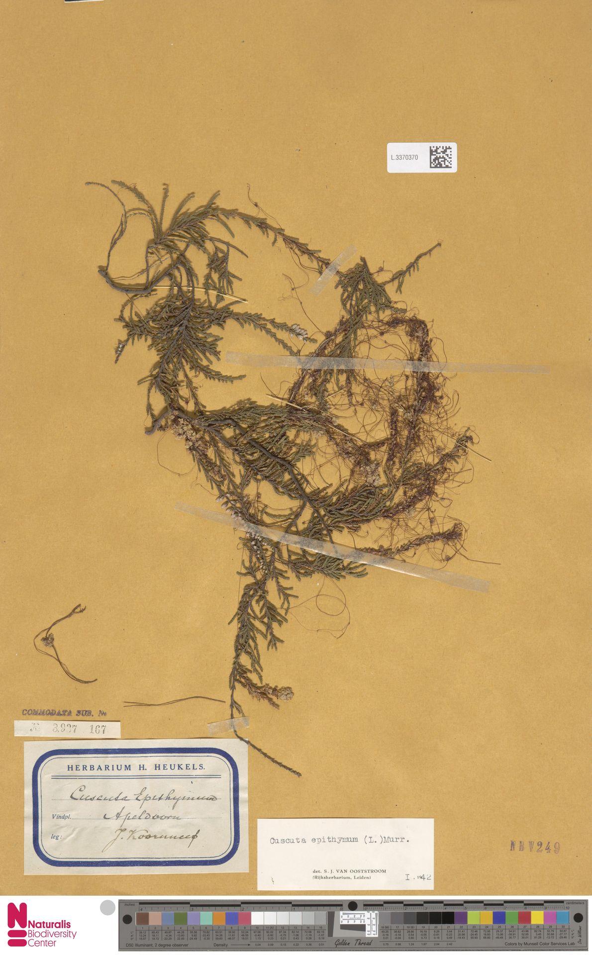 L.3370370 | Cuscuta epithymum (L.) L.