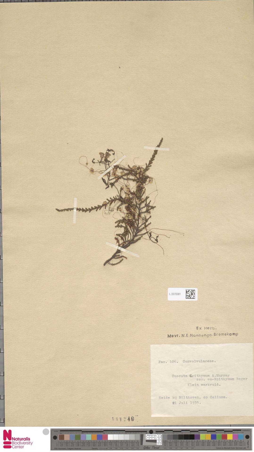 L.3370381 | Cuscuta epithymum (L.) L.