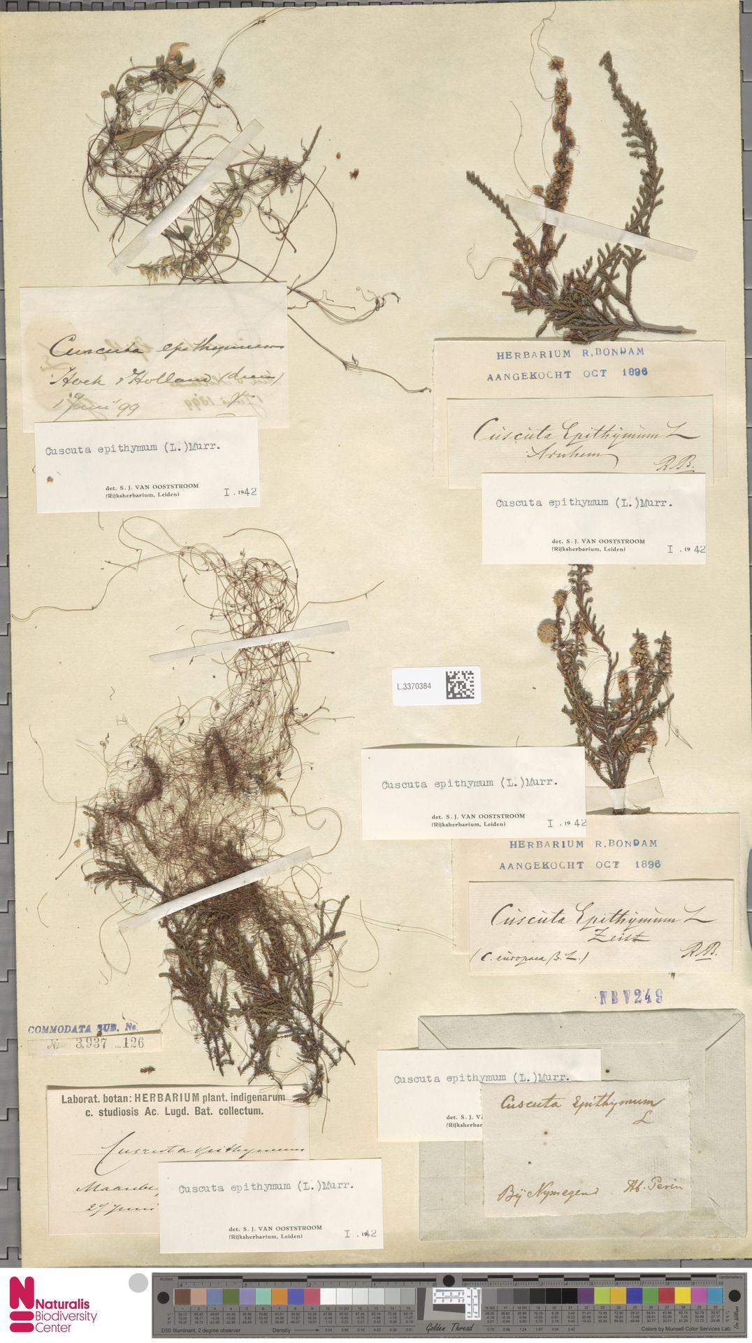 L.3370384   Cuscuta epithymum (L.) L.