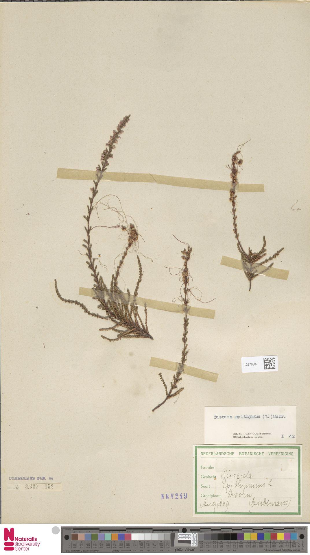 L.3370387   Cuscuta epithymum (L.) L.