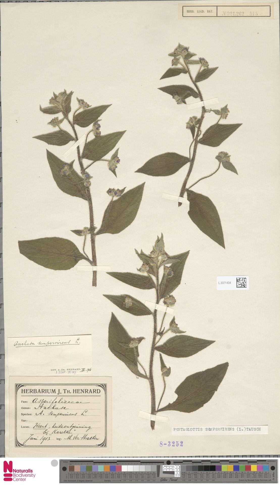 L.3371434 | Pentaglottis sempervirens (L.) L.H.Bailey
