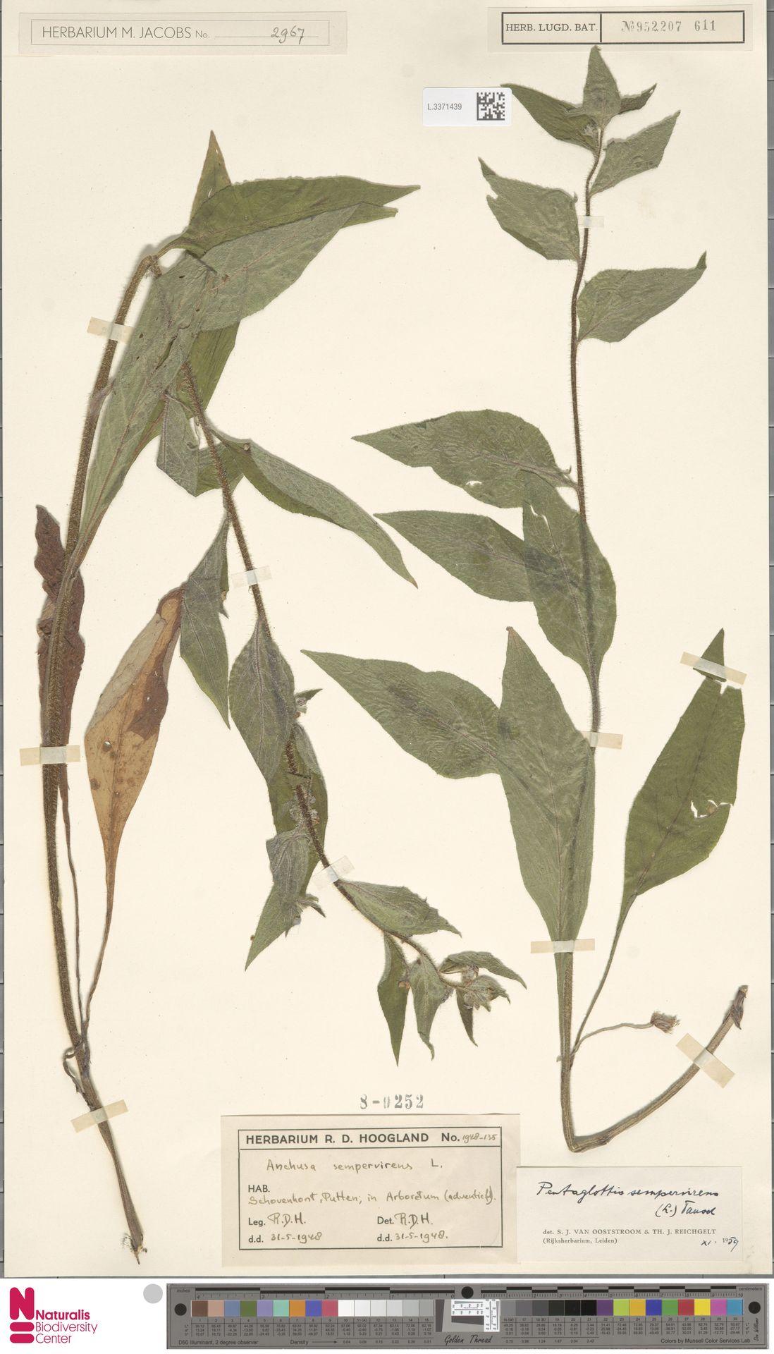 L.3371439 | Pentaglottis sempervirens (L.) L.H.Bailey