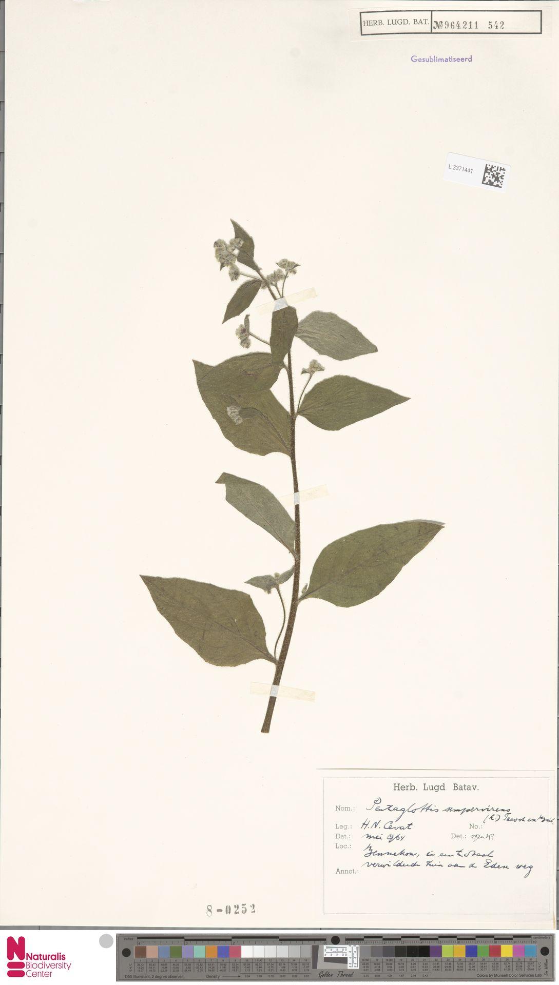 L.3371441 | Pentaglottis sempervirens (L.) L.H.Bailey