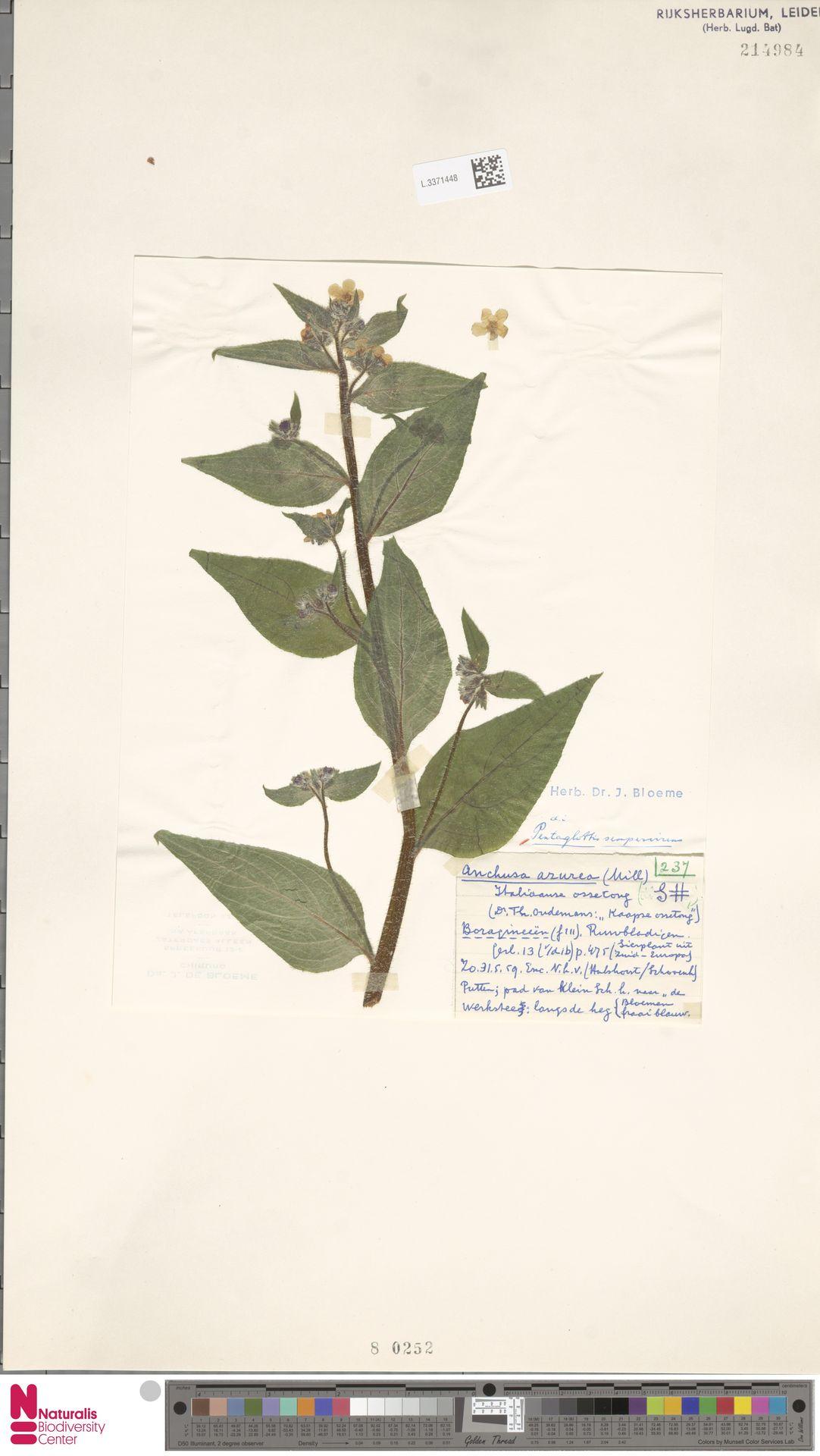 L.3371448 | Pentaglottis sempervirens (L.) L.H.Bailey