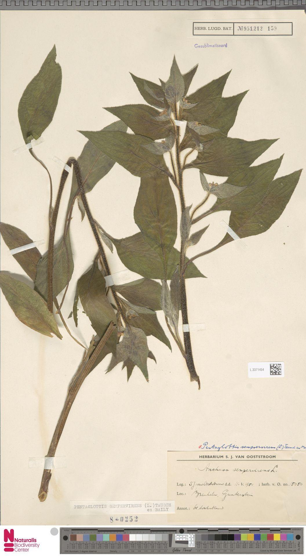 L.3371454   Pentaglottis sempervirens (L.) L.H.Bailey