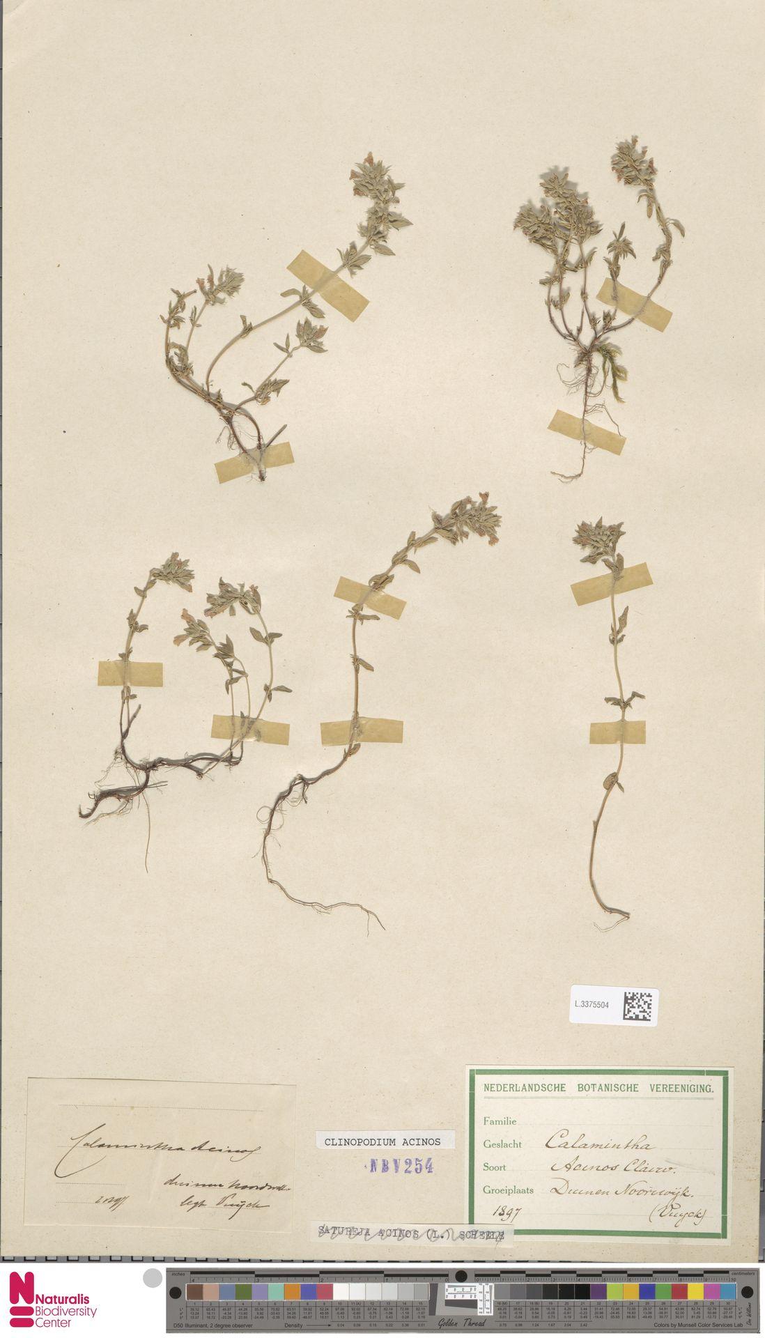 L.3375504 | Clinopodium acinos (L.) Kuntze