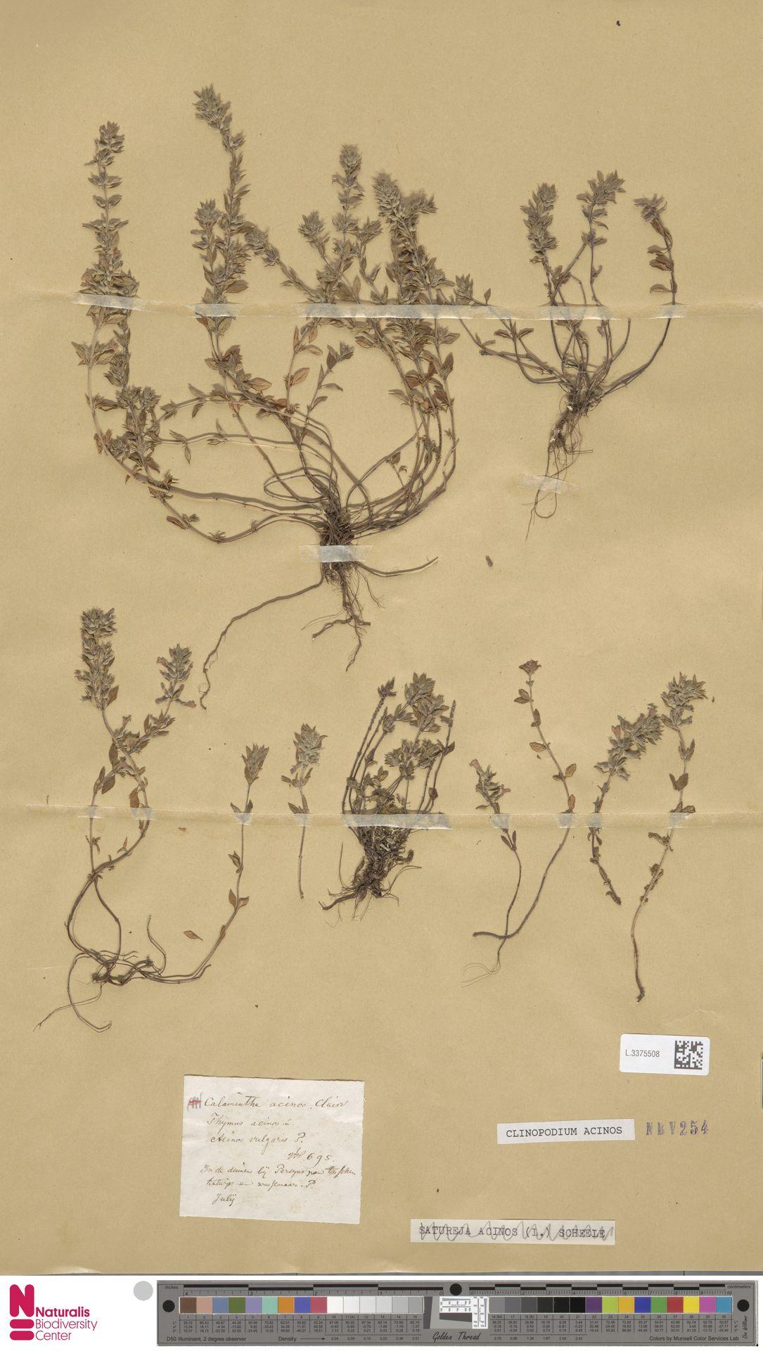 L.3375508 | Clinopodium acinos (L.) Kuntze