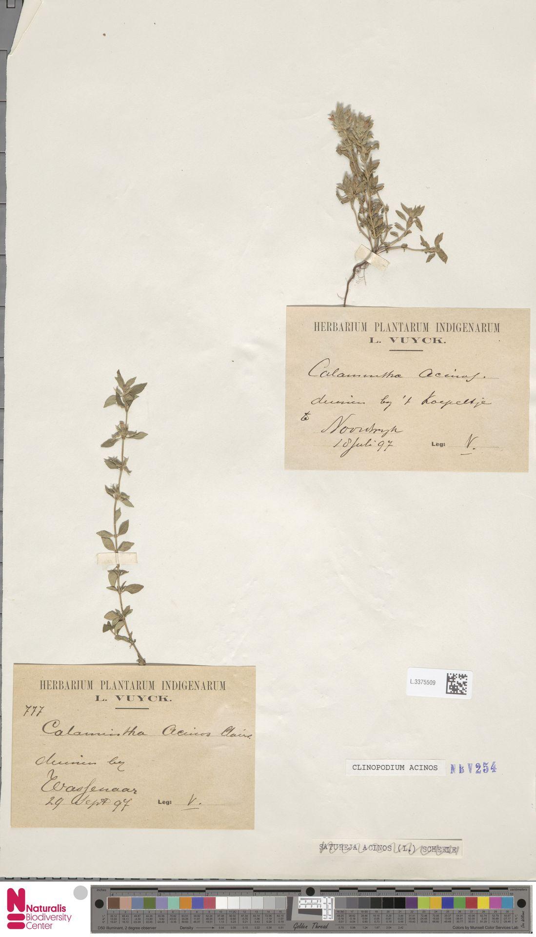 L.3375509 | Clinopodium acinos (L.) Kuntze