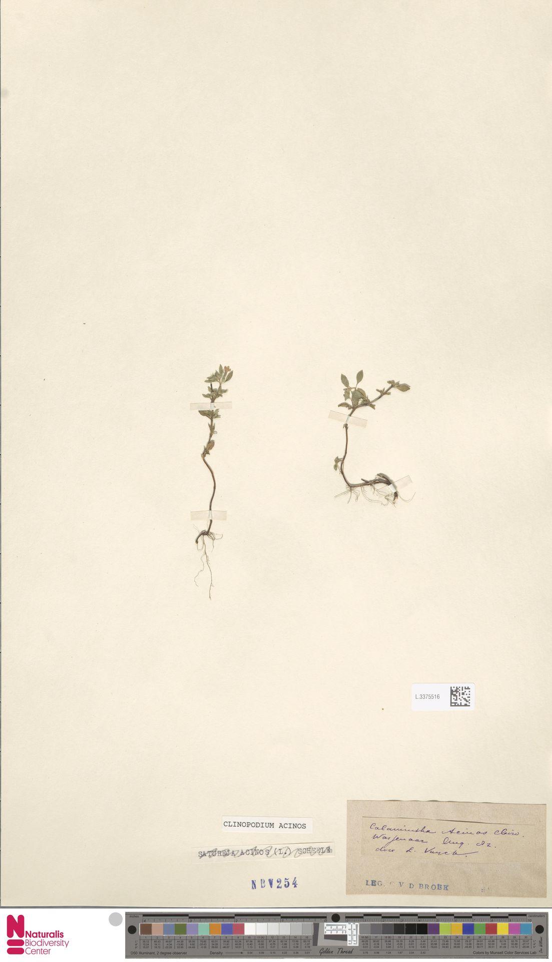 L.3375516   Clinopodium acinos (L.) Kuntze