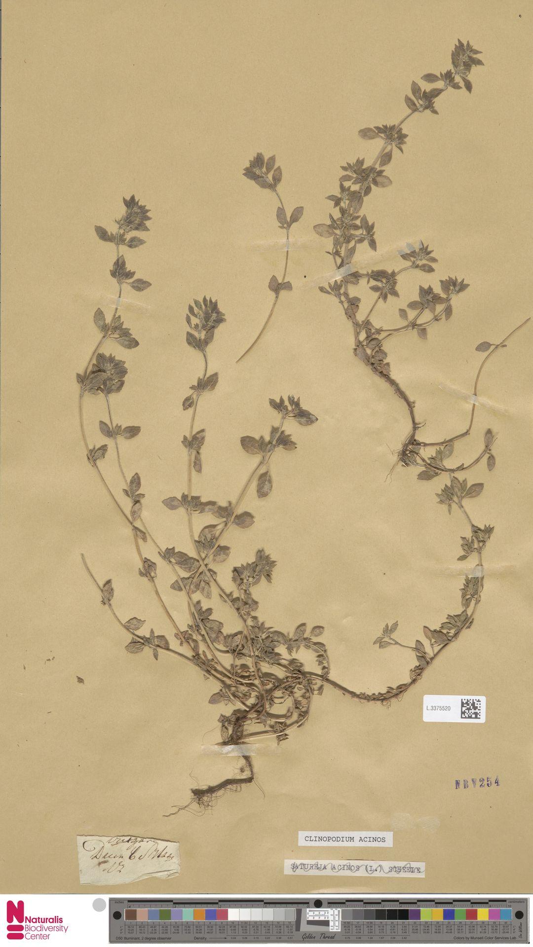 L.3375520 | Clinopodium acinos (L.) Kuntze