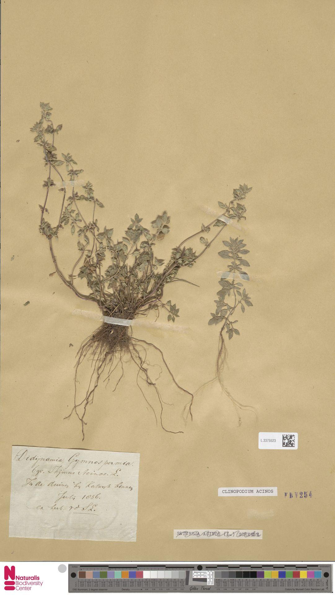 L.3375523   Clinopodium acinos (L.) Kuntze
