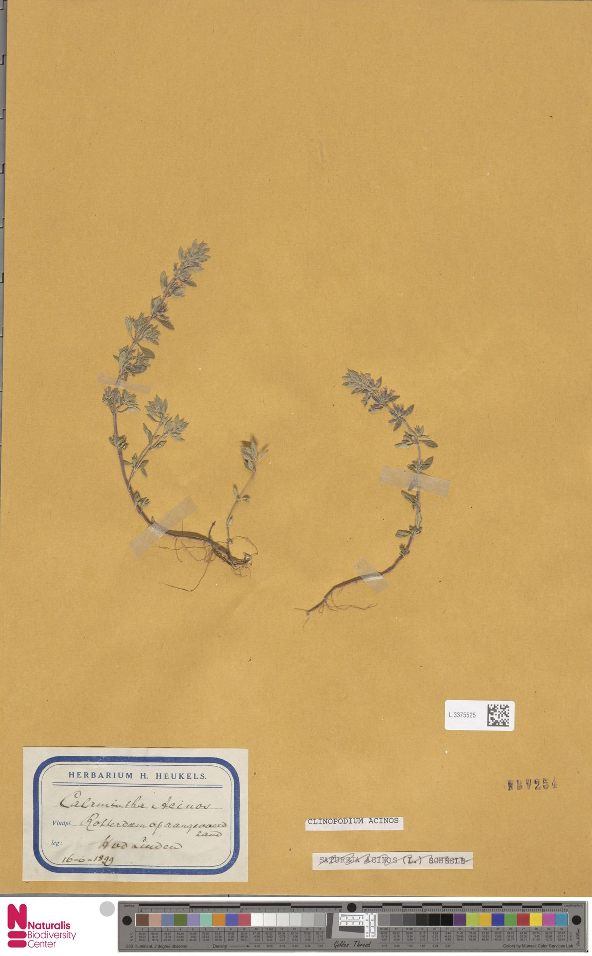 L.3375525 | Clinopodium acinos (L.) Kuntze