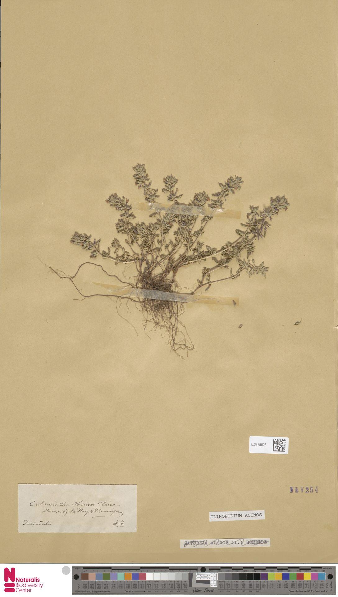 L.3375528   Clinopodium acinos (L.) Kuntze